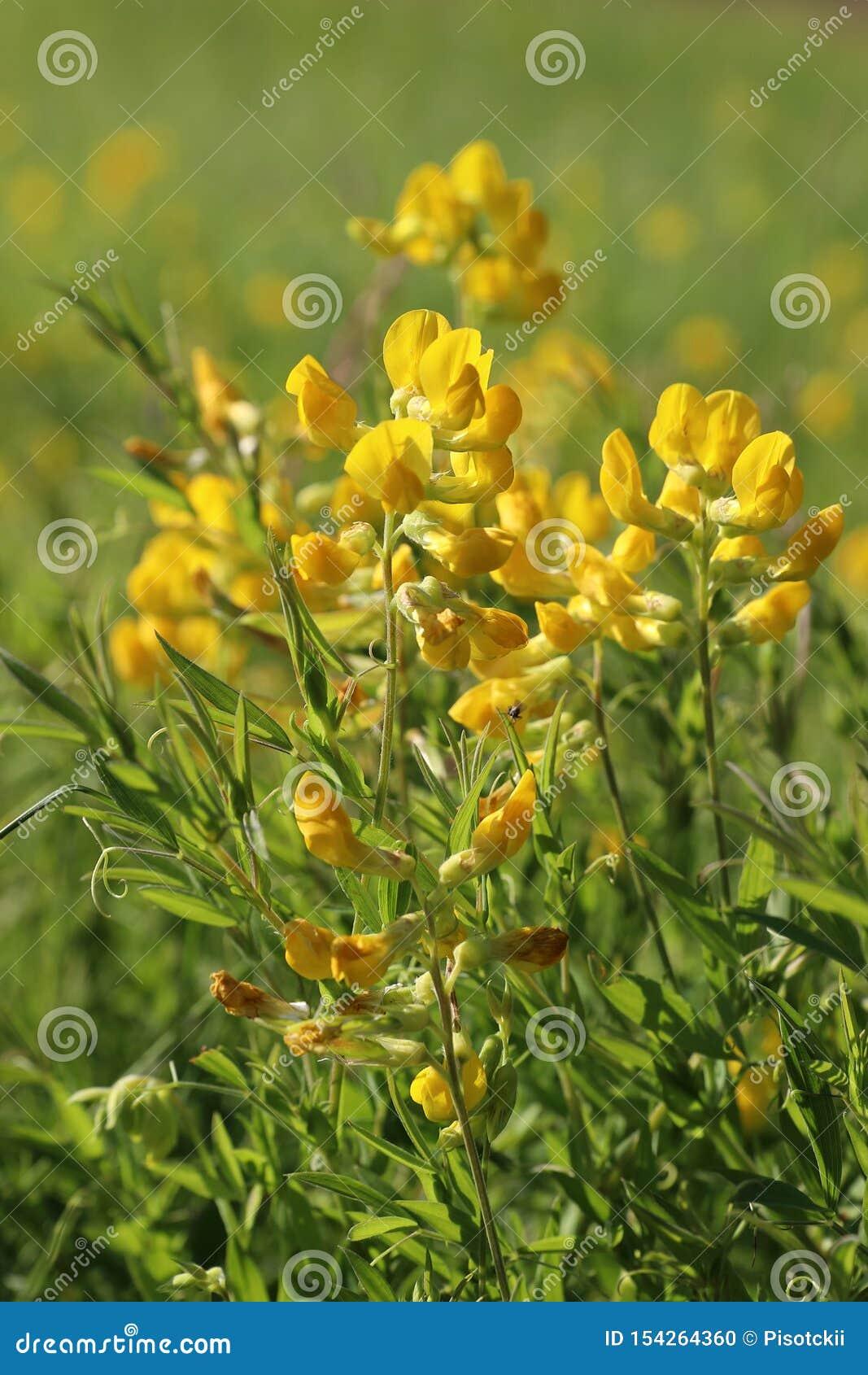 Lathyruspratensis Gele peavine van de bloemenweide op een Zonnige dag