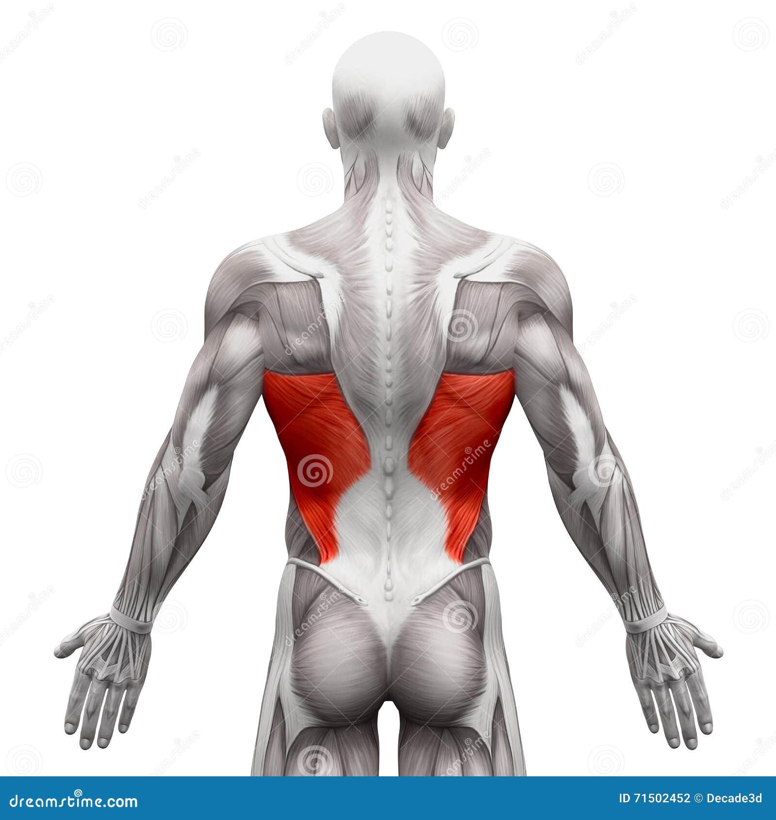 Latissimus-Dorsi - Anatomie-Muskeln Lokalisiert Auf Weiß- Illust 3D ...