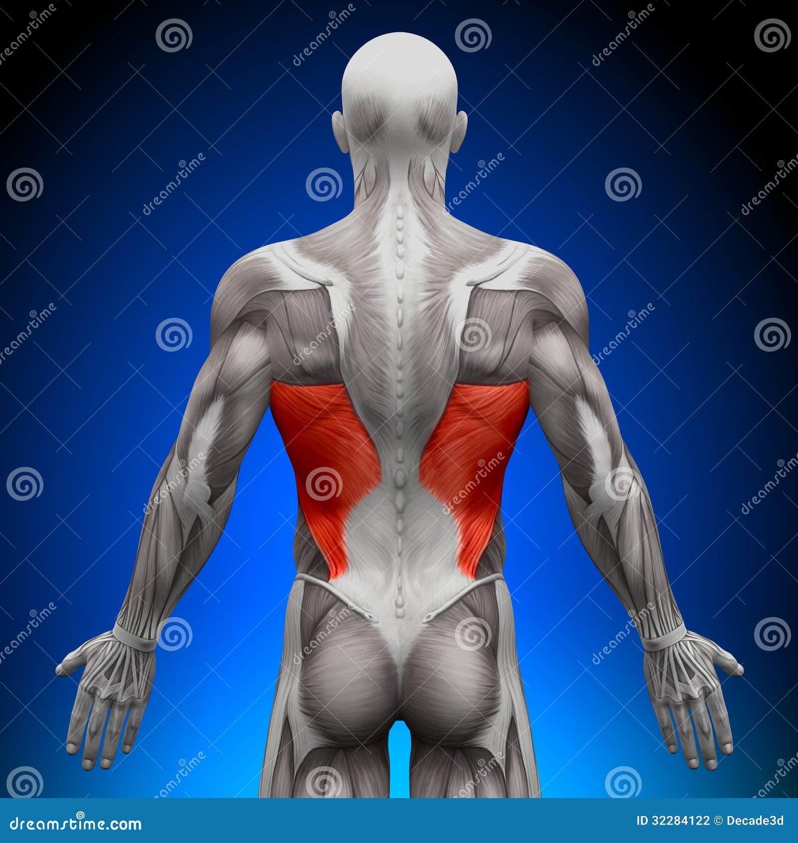 Latissimus Dorsi - Anatomy Muscles Stock Illustration - Illustration ...
