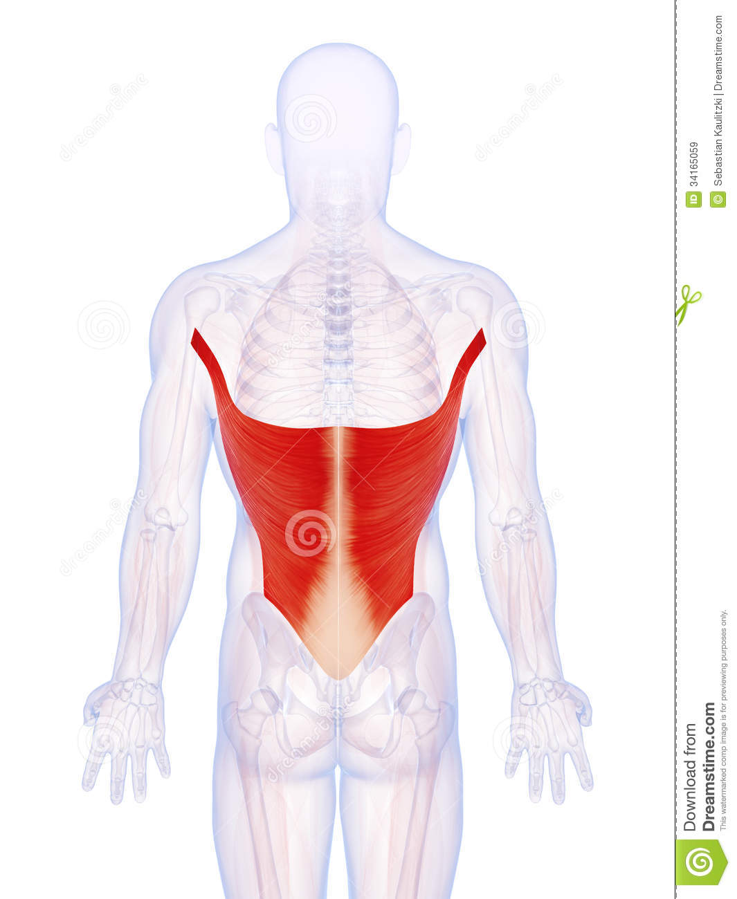 the latissimus dorsi muscle royalty free stock images - image, Muscles