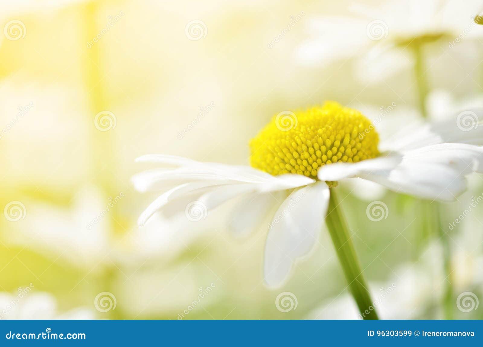 Lato kwitnie rumianków okwitnięcia na łące Makro- fotografia