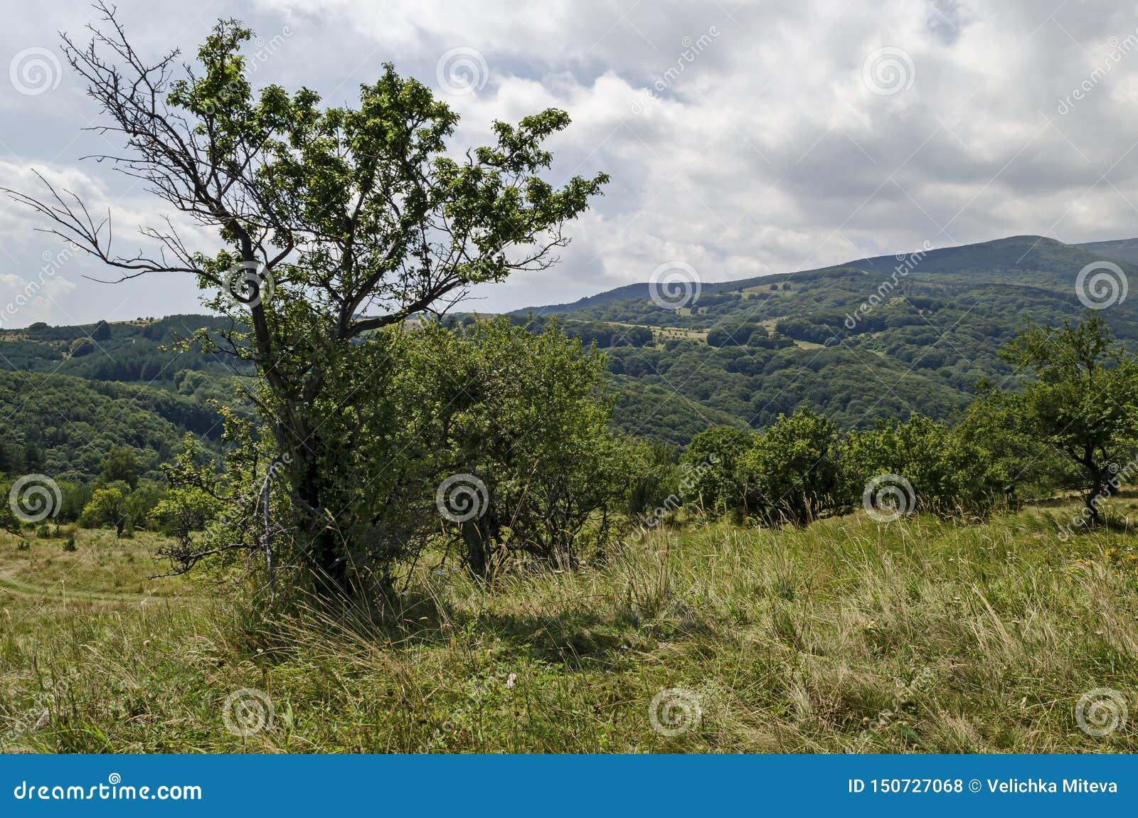 Lato zielony las, pojedynczy drzewa w świeżej haliźnie z różną trawą kwitnie wildflower, Vitosha góra