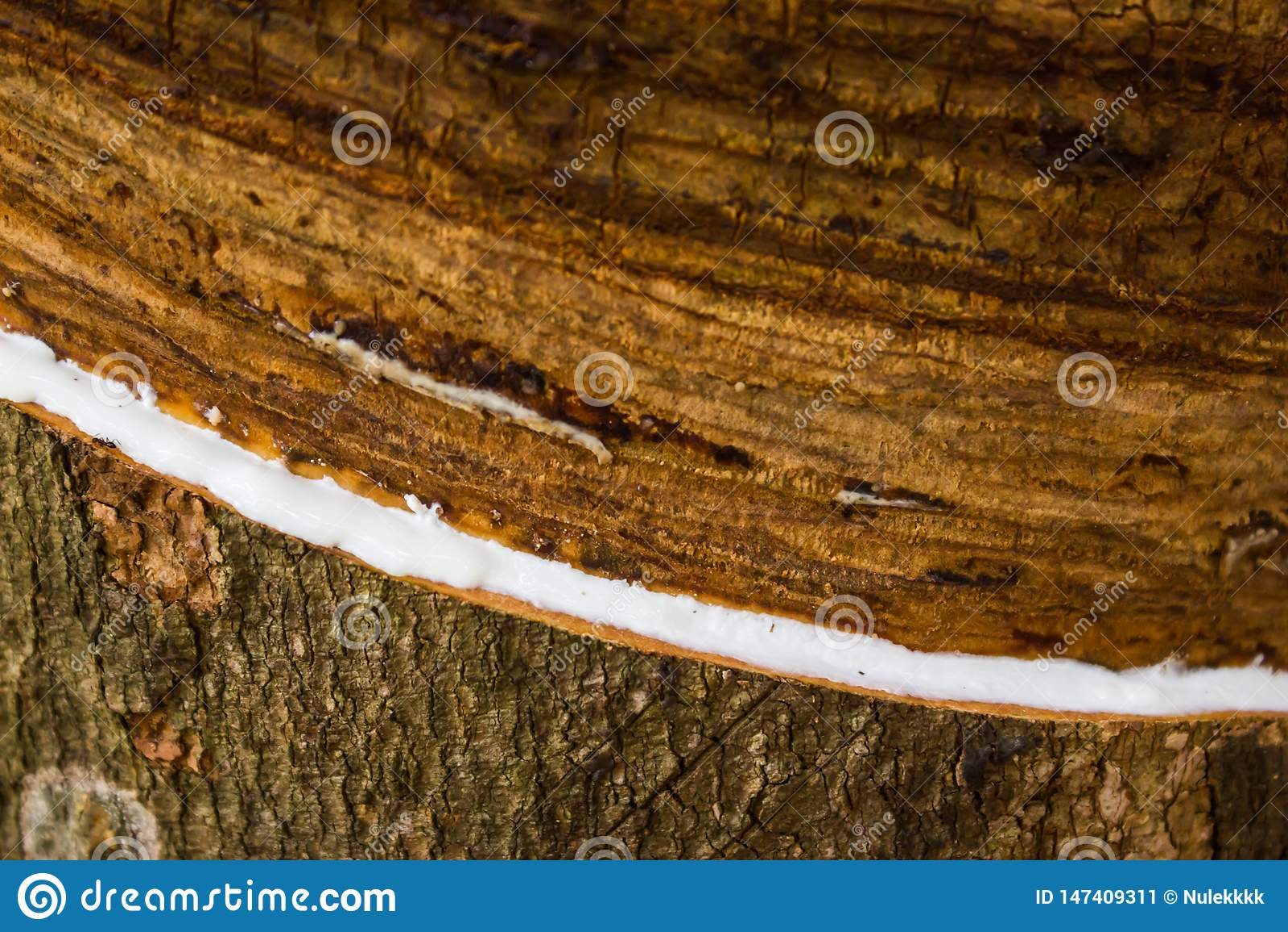 Lattice latteo estratto dal hevea brasiliensis dell albero di gomma