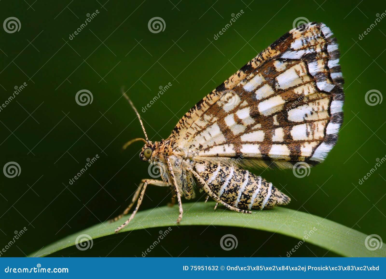 Latticed heath, Chiasmia clathrata, is a moth of the family Geometridae. Beautiful nigt butterfly sitting on the green grass leave