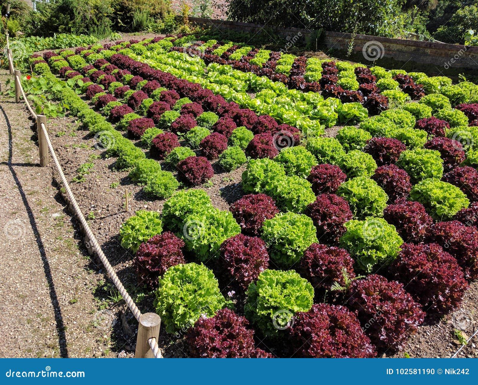Lattughe colorate alternanti coltivate in letti di verdure