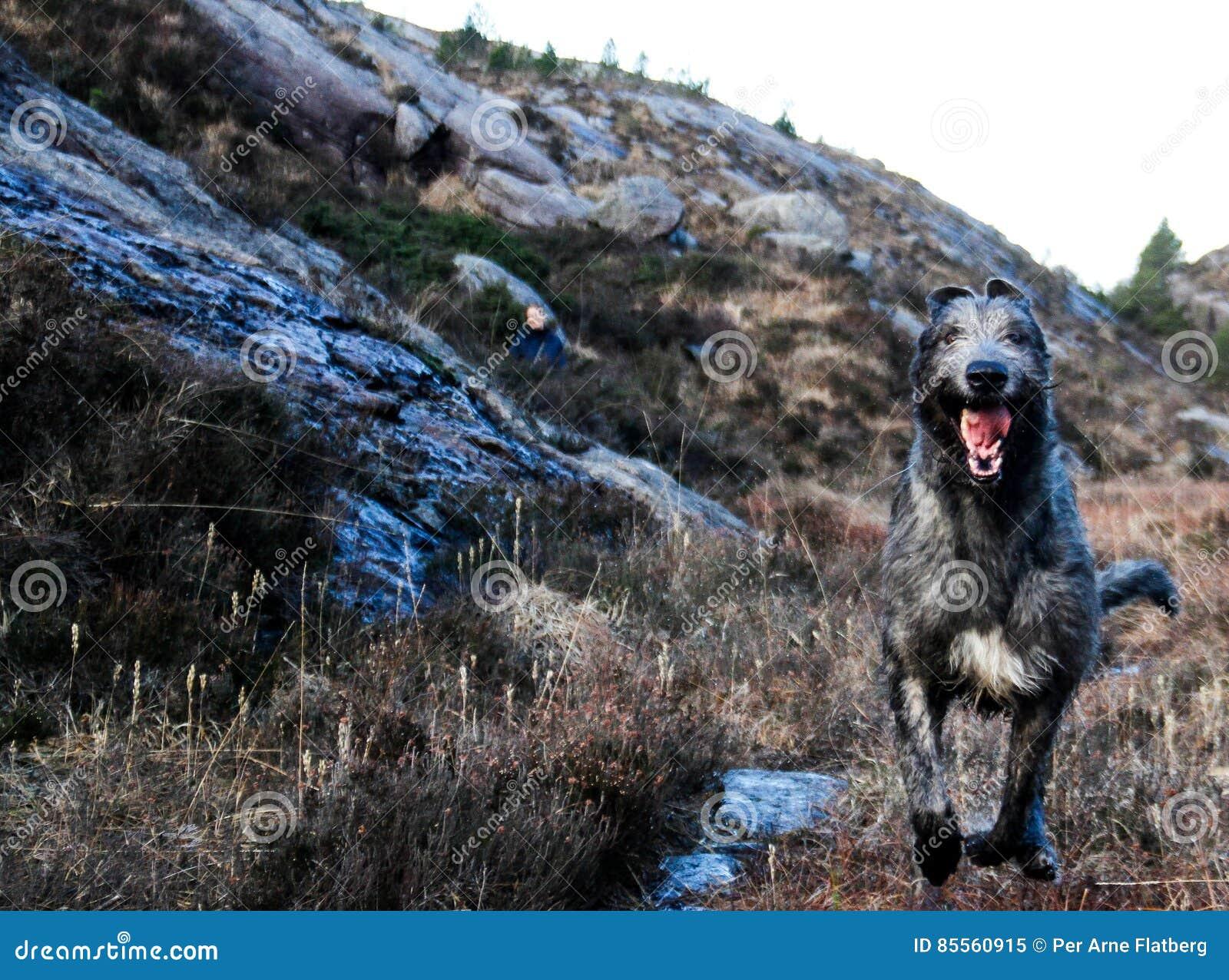 Laufender irischer Wolfshund