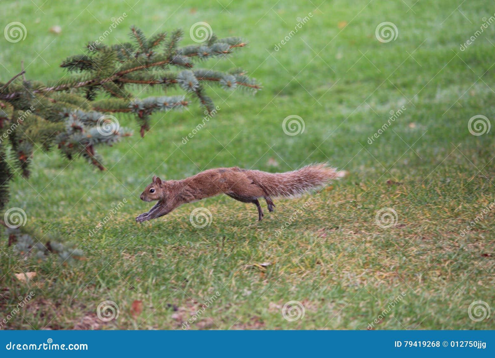 Laufendes Eichhörnchen Im Park Stockfoto - Bild von laufen ...