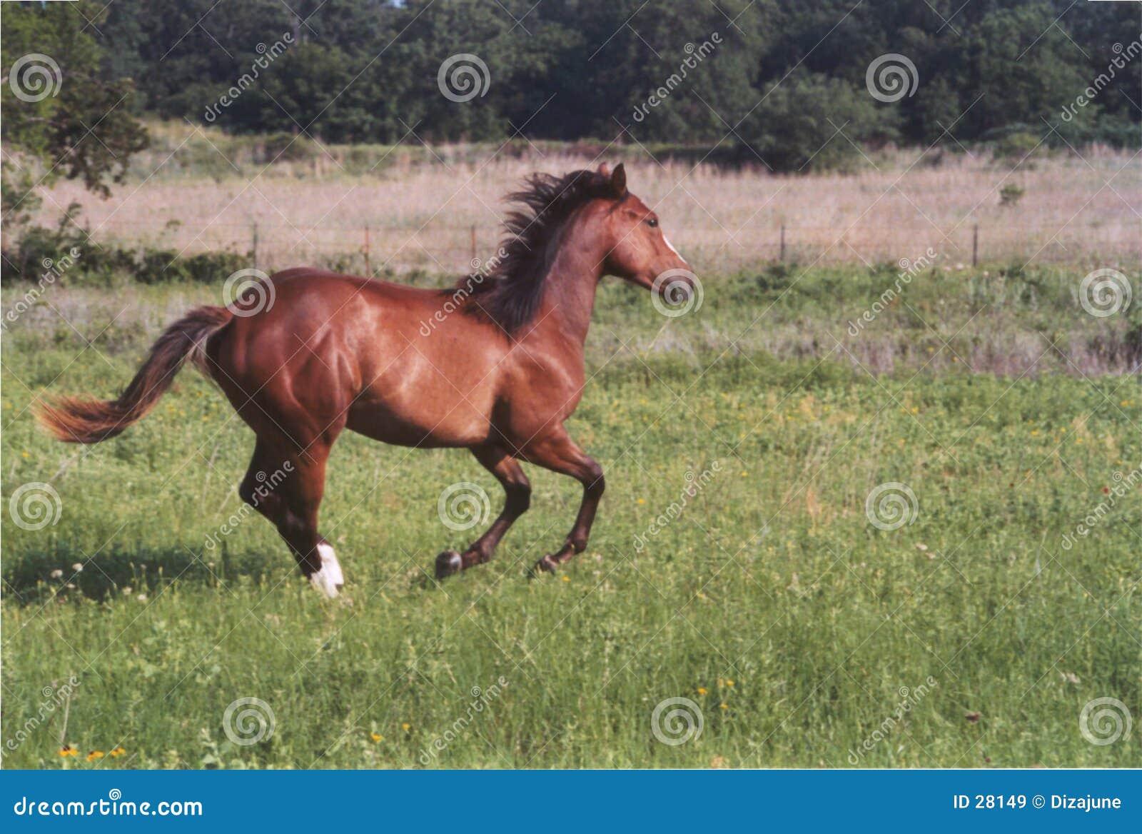 Laufendes Pferd
