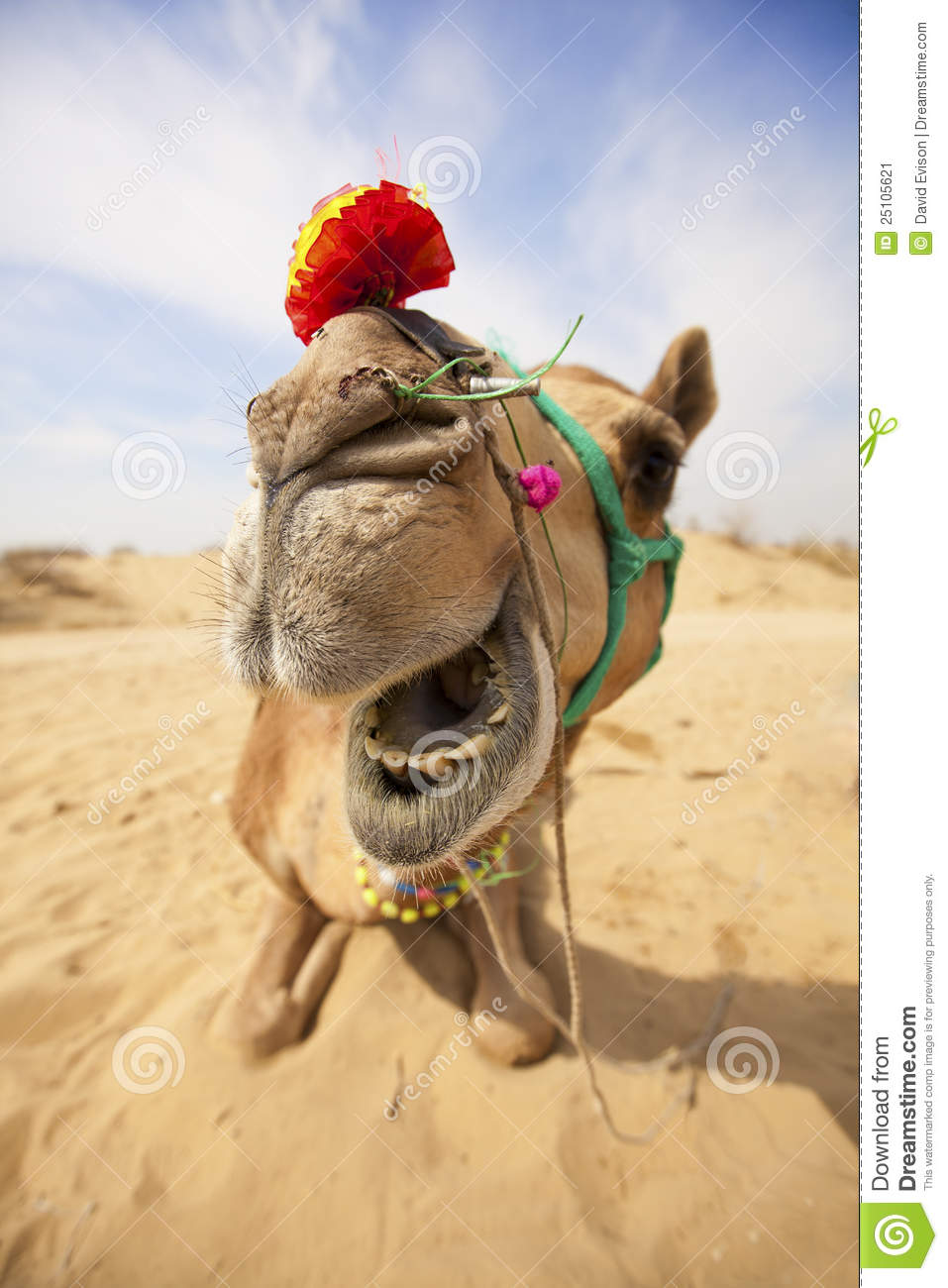The laughing camel in the desert near Bikaner, Rajasthan, India.