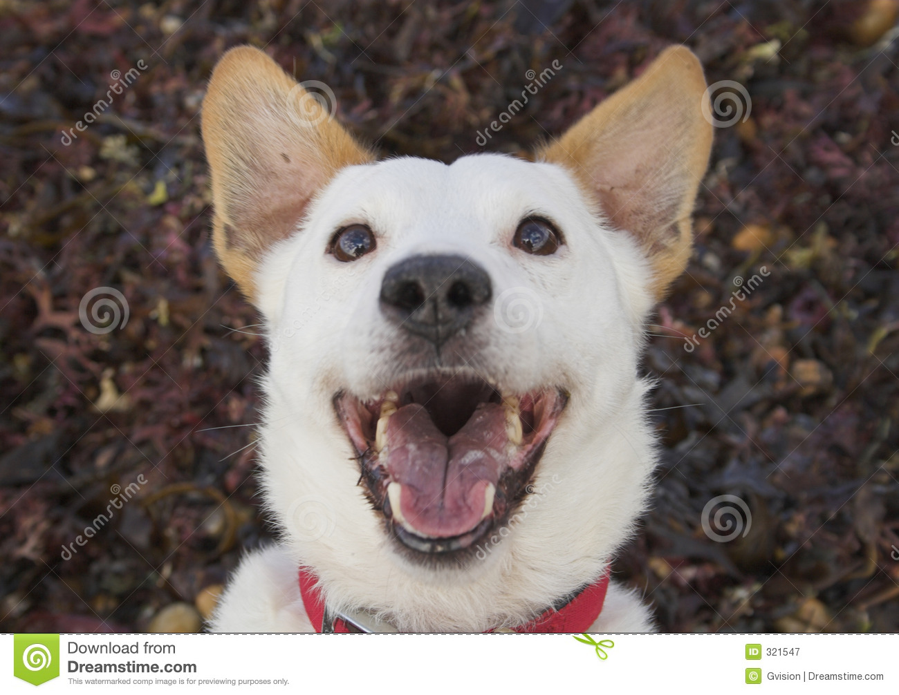 Laughing Dog stock image. Image of comical, terrier, brown ... - photo#34