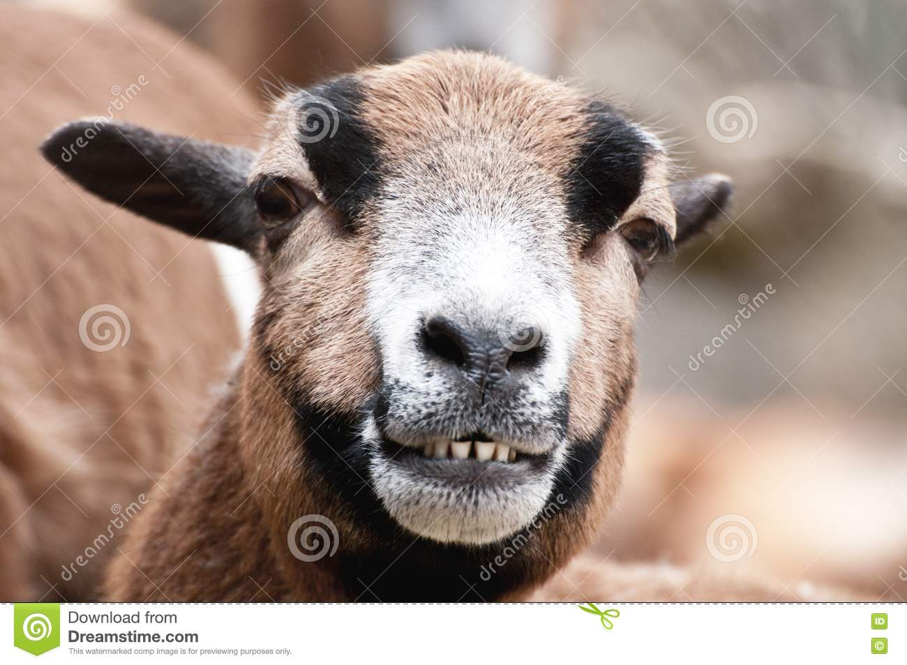 laughing goat portrait stock image image of goat  ears clipart of bears blocks clipart of bears in nature