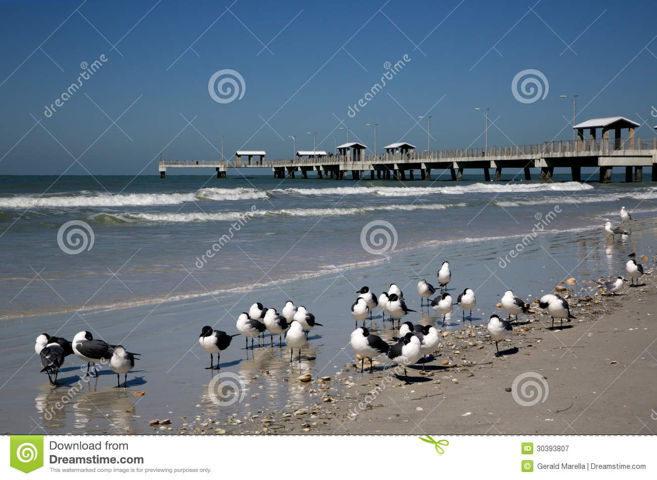 Laughing gulls larus atricilla and fishing pier royalty for Fort desoto fishing pier