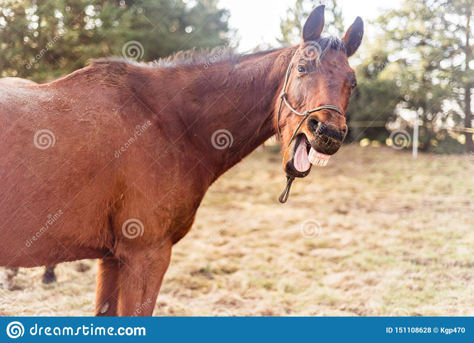 Laughing horse on the meadow