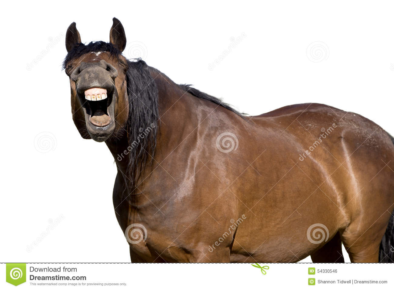 laughing horse with mouth open showing teeth stock photo