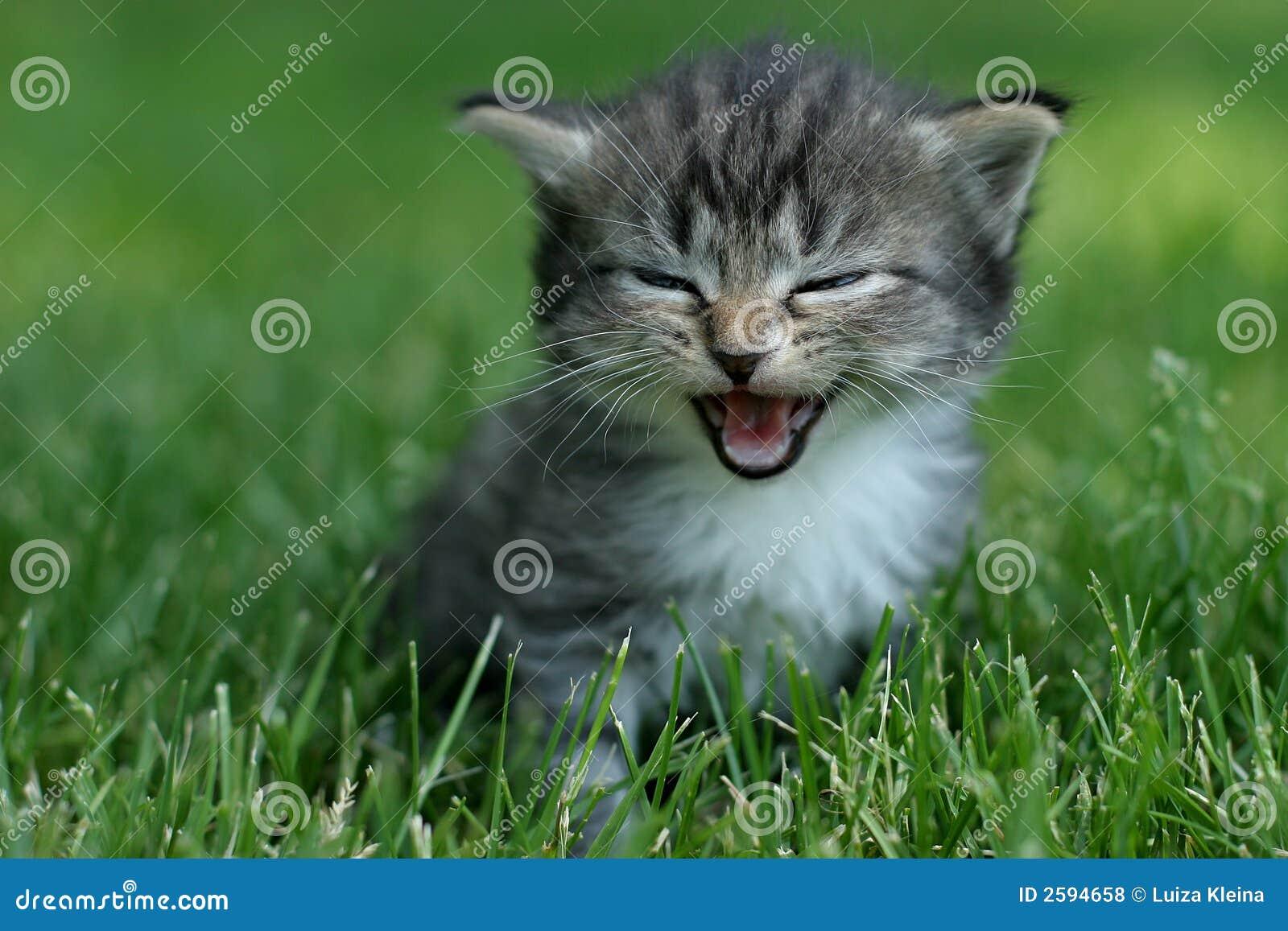 Laughing kitty stock photo. Image of wild, kitten, kitty ... - photo#45