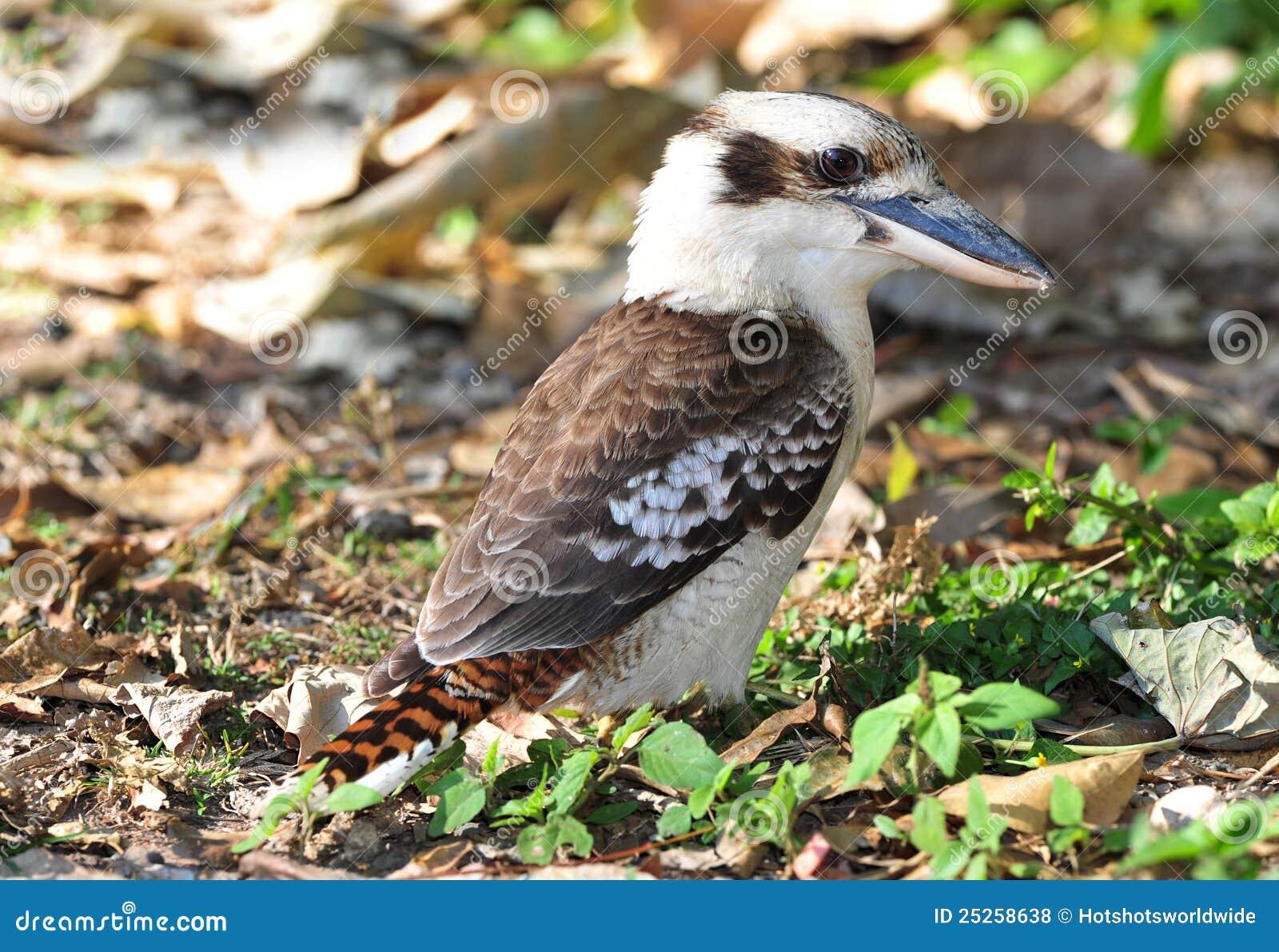 Laughing kookaburra / kingfisher,mackay,australia