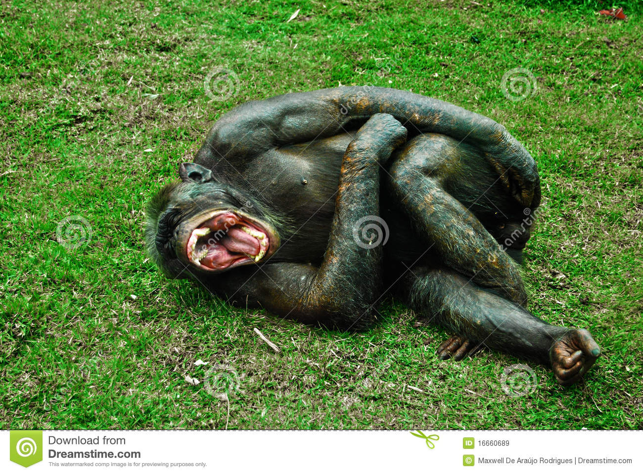 Laughing Monkey Royalty Free Stock Images - Image: 16660689
