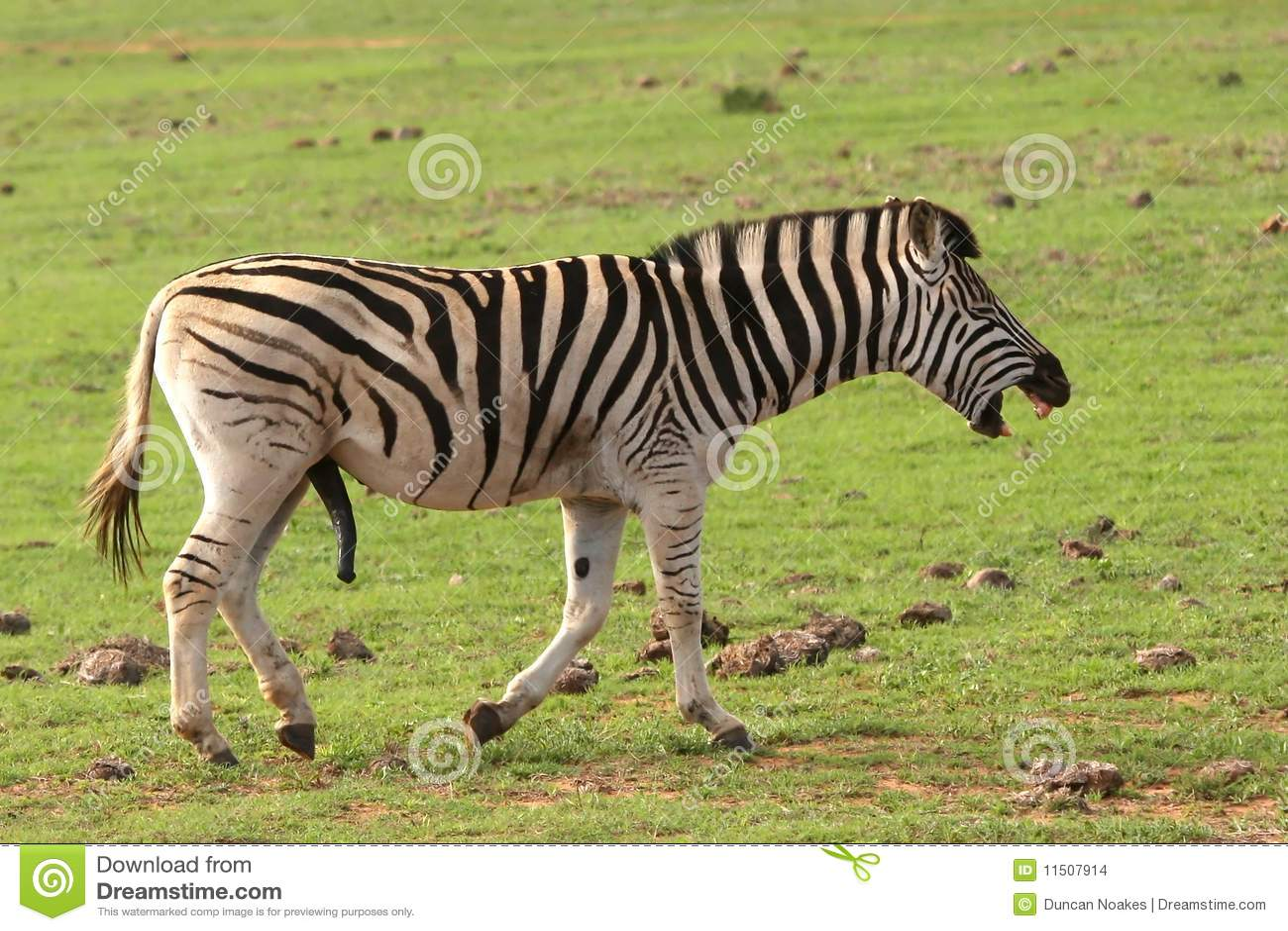 Laughing Zebra stock photo. Image of mane, exotic ... - photo#11