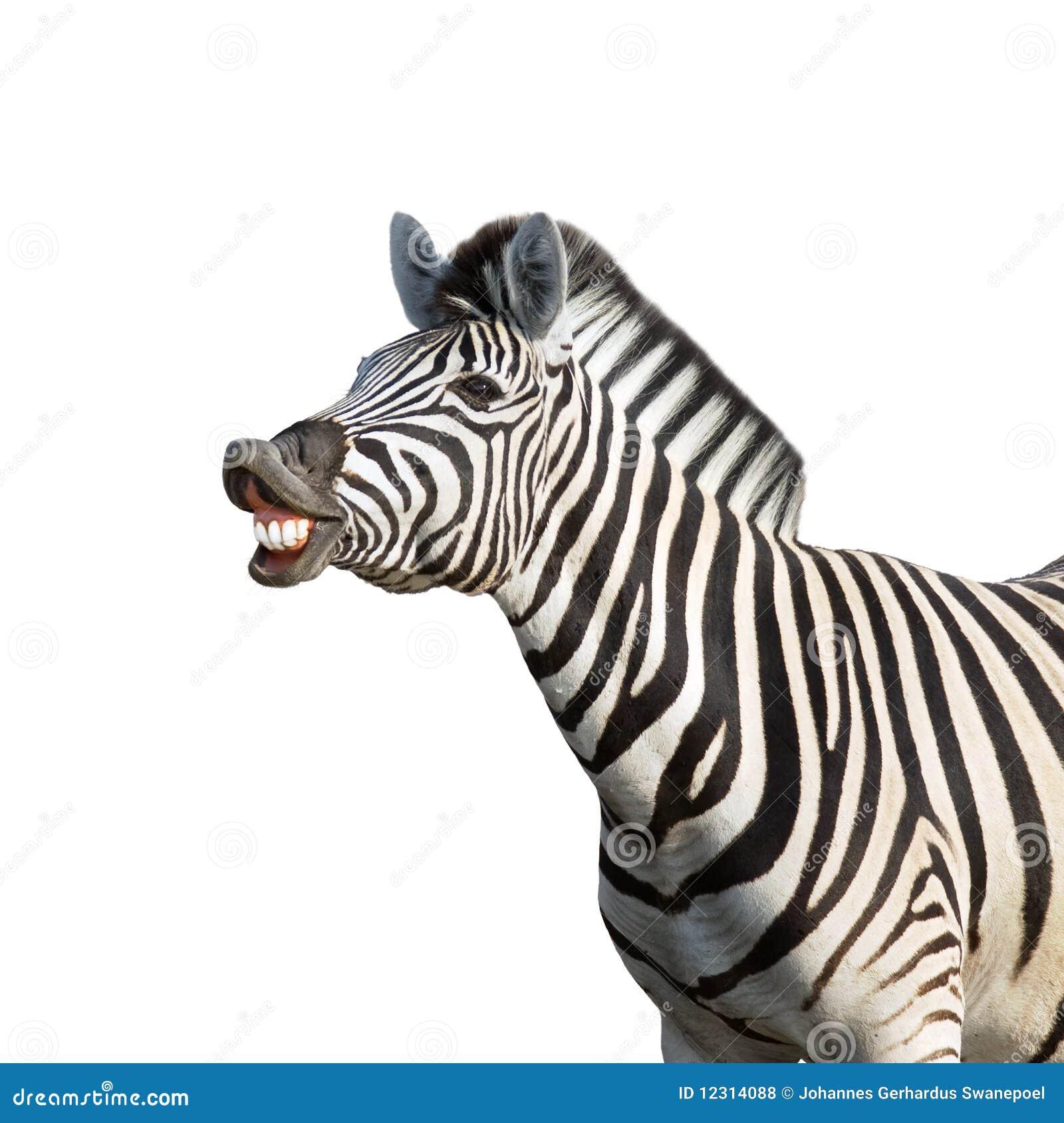 Laughing Zebra Royalty Free Stock Photos - Image: 12314088 - photo#29