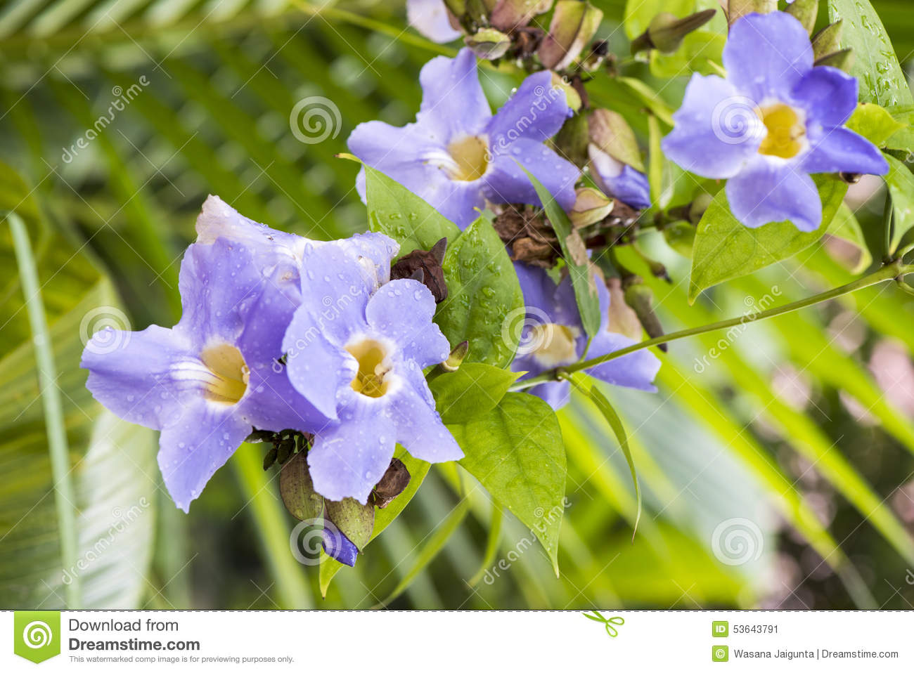 Laurel clock vine blue trumpet vine flowers stock image image of royalty free stock photo izmirmasajfo