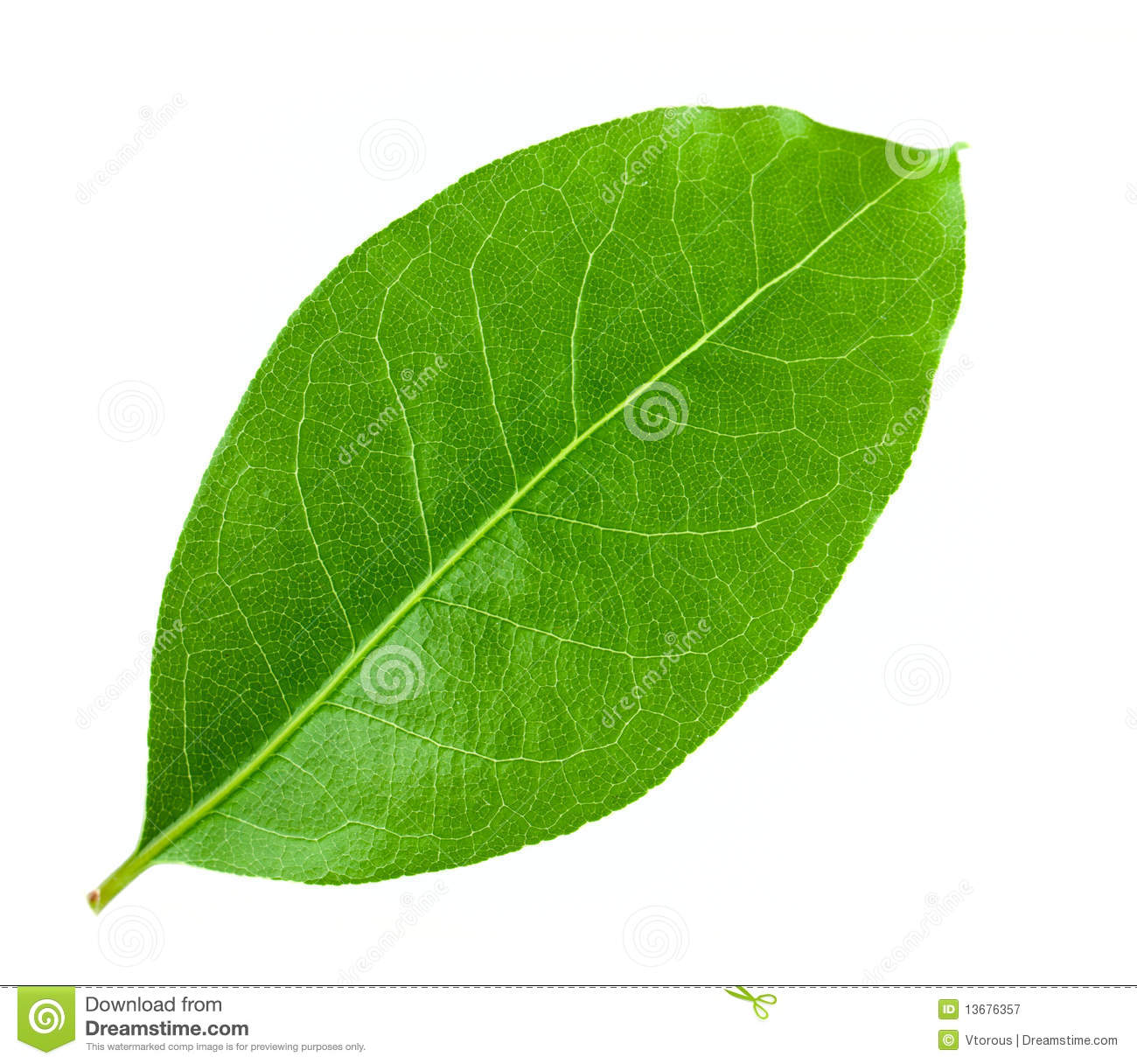 Laurel Leaf Royalty Free Stock Photography - Image: 13676357