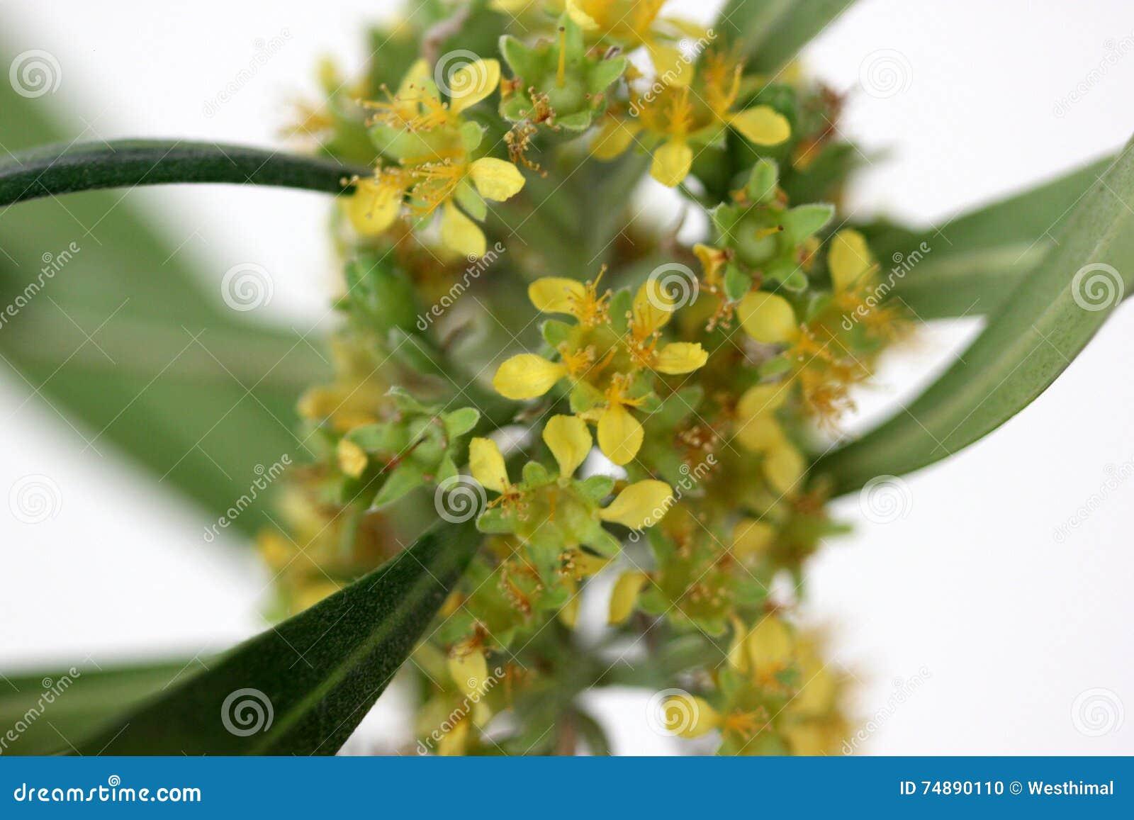 Laurina de Tristaniopsis, goma de água, kanooka
