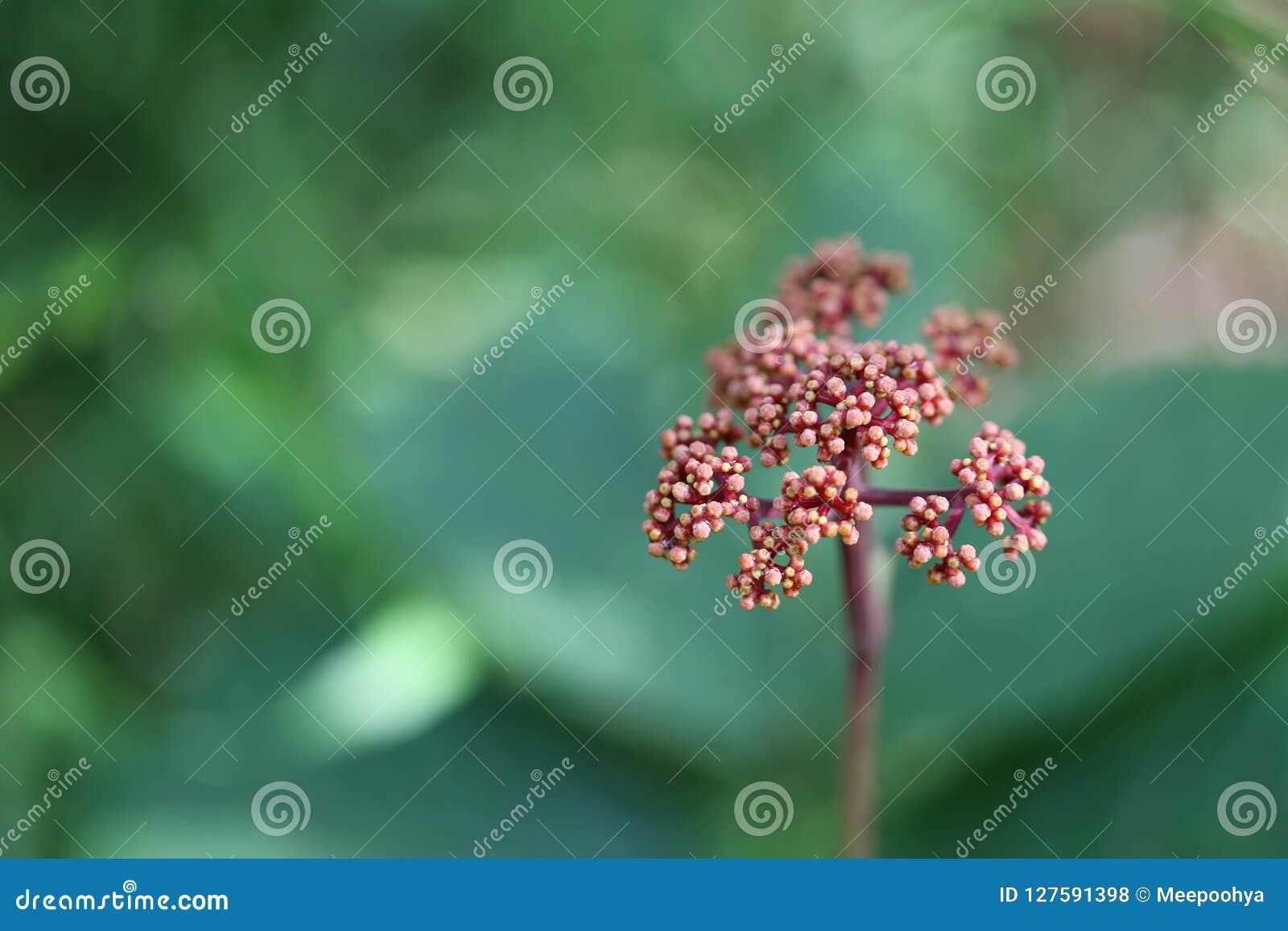 Laurustinus kwiat arcydzięgiel mimo to kwiat w tropikalnym lesie deszczowym nie