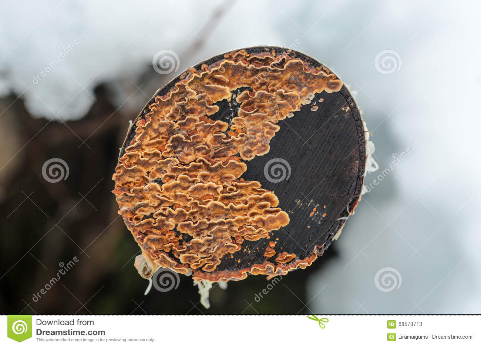 Lav på trädstubben
