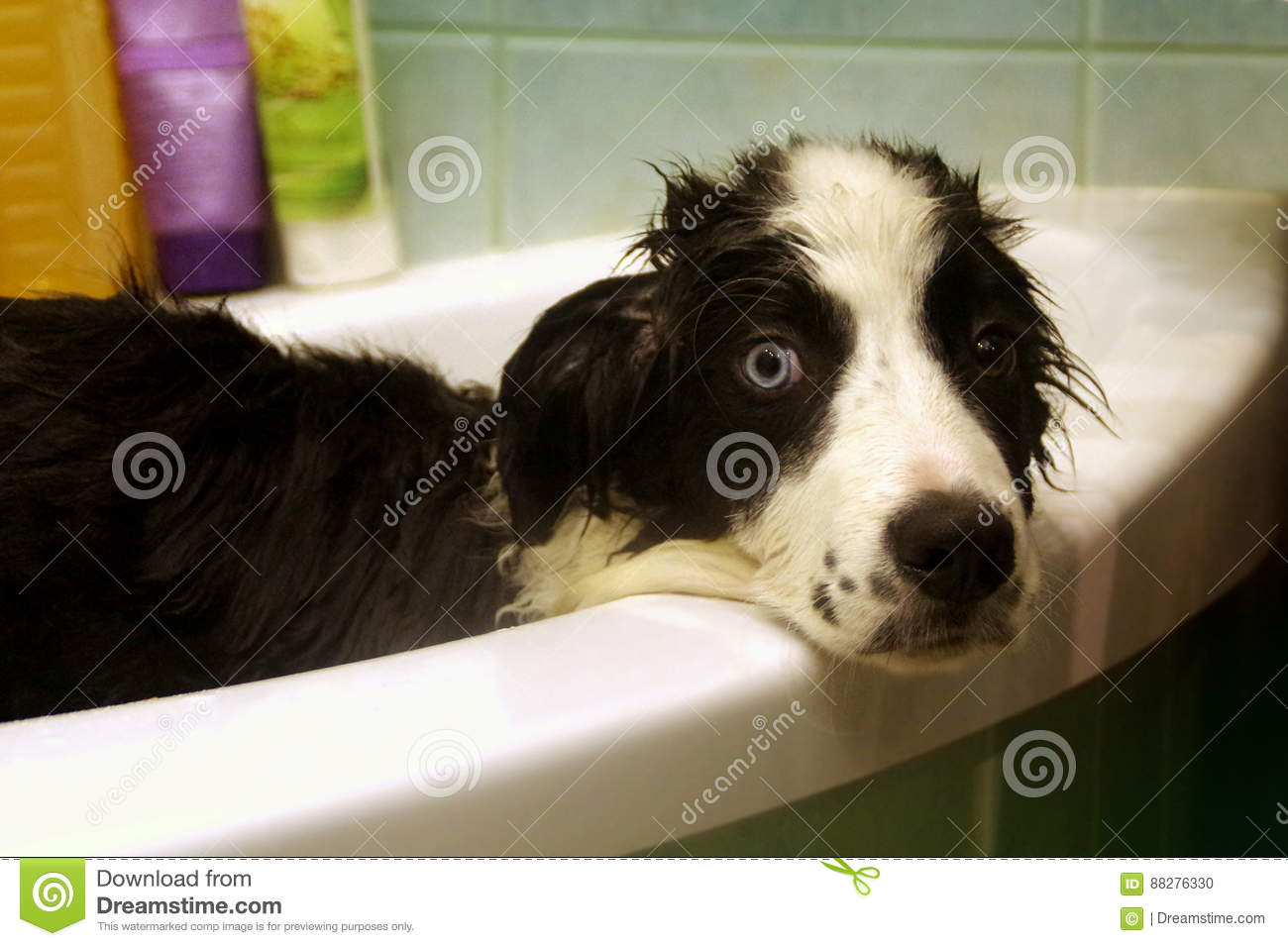 Lavado del border collie