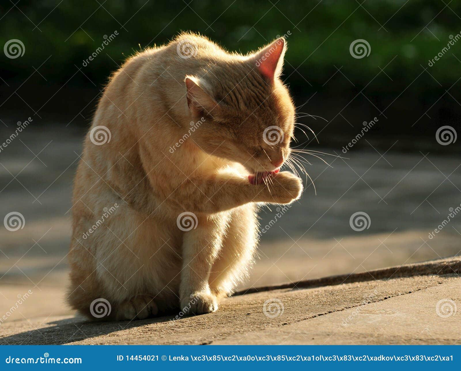 Lavaggio del gatto - Immagine del gatto a colori ...