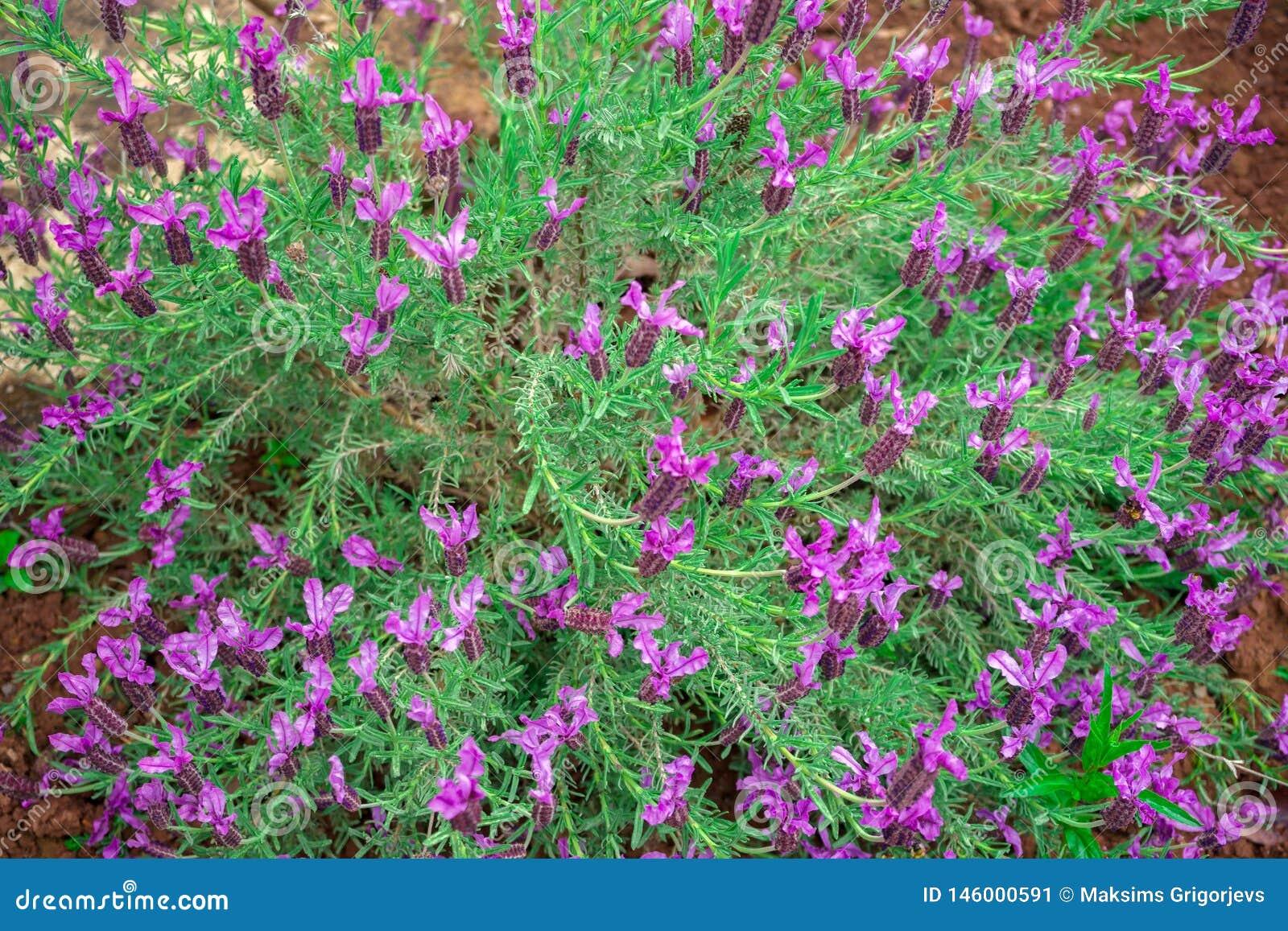 Lavanda p?rpura, floraci?n de la flor de la lavanda del Lavandula Angustifolia, aka com?n, verdadero