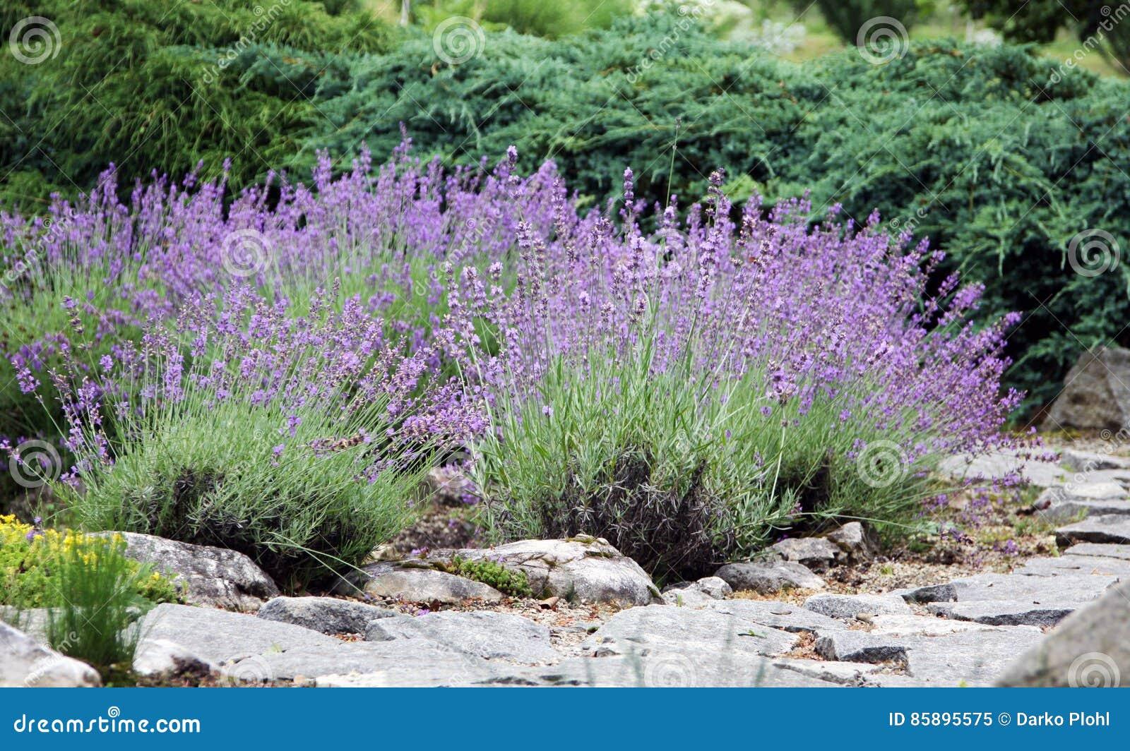 Lavande de floraison sur le jardin de rocaille photo stock image 85895575 - Floraison de la lavande ...