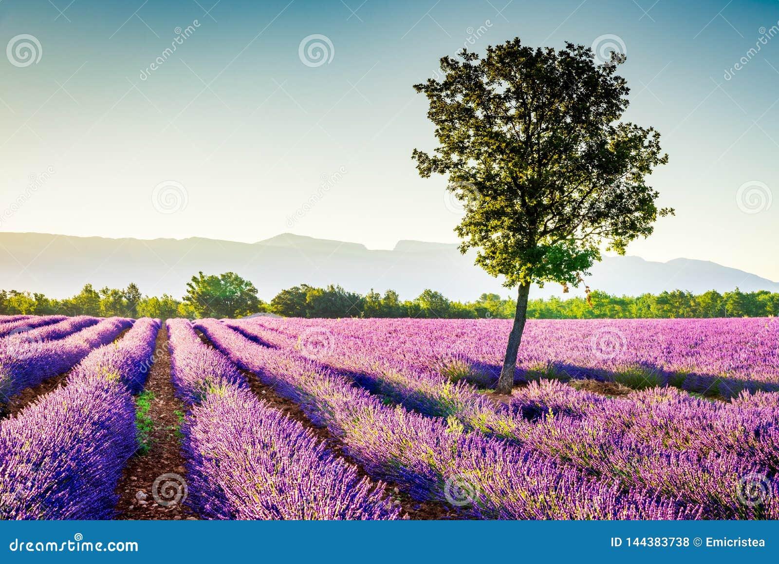 Lavande de Valensole en Provence, France