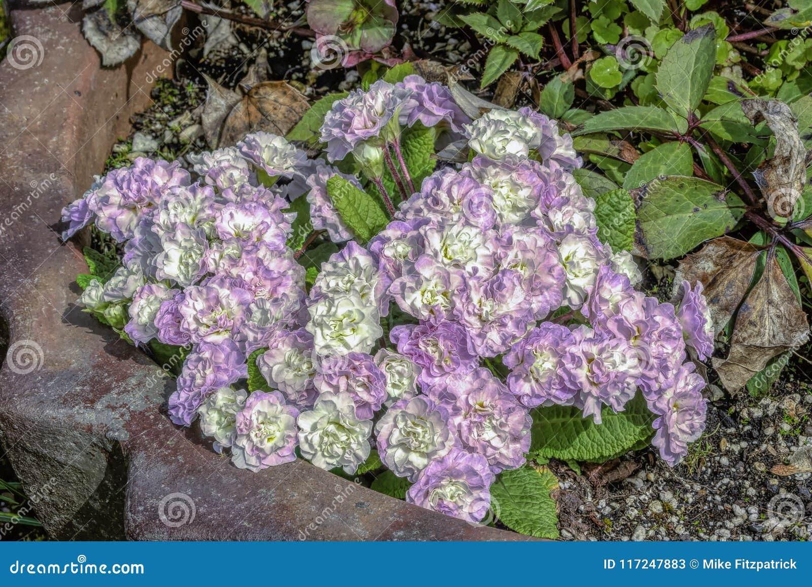 Lavande et fleurs blanches