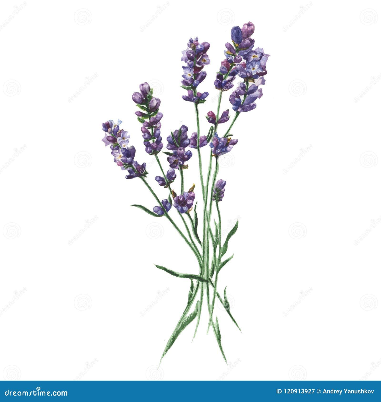 Lavande pourpre Fleur botanique florale Élément d isolement d illustration