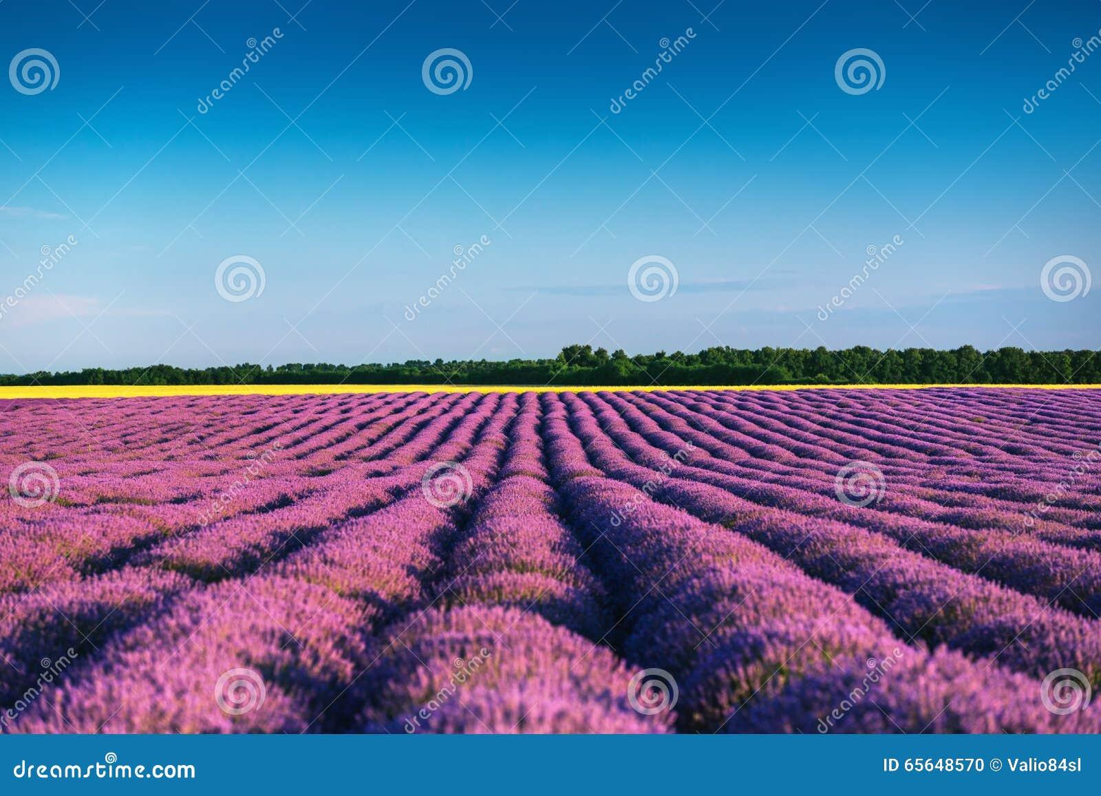 Lavande Provence de zone
