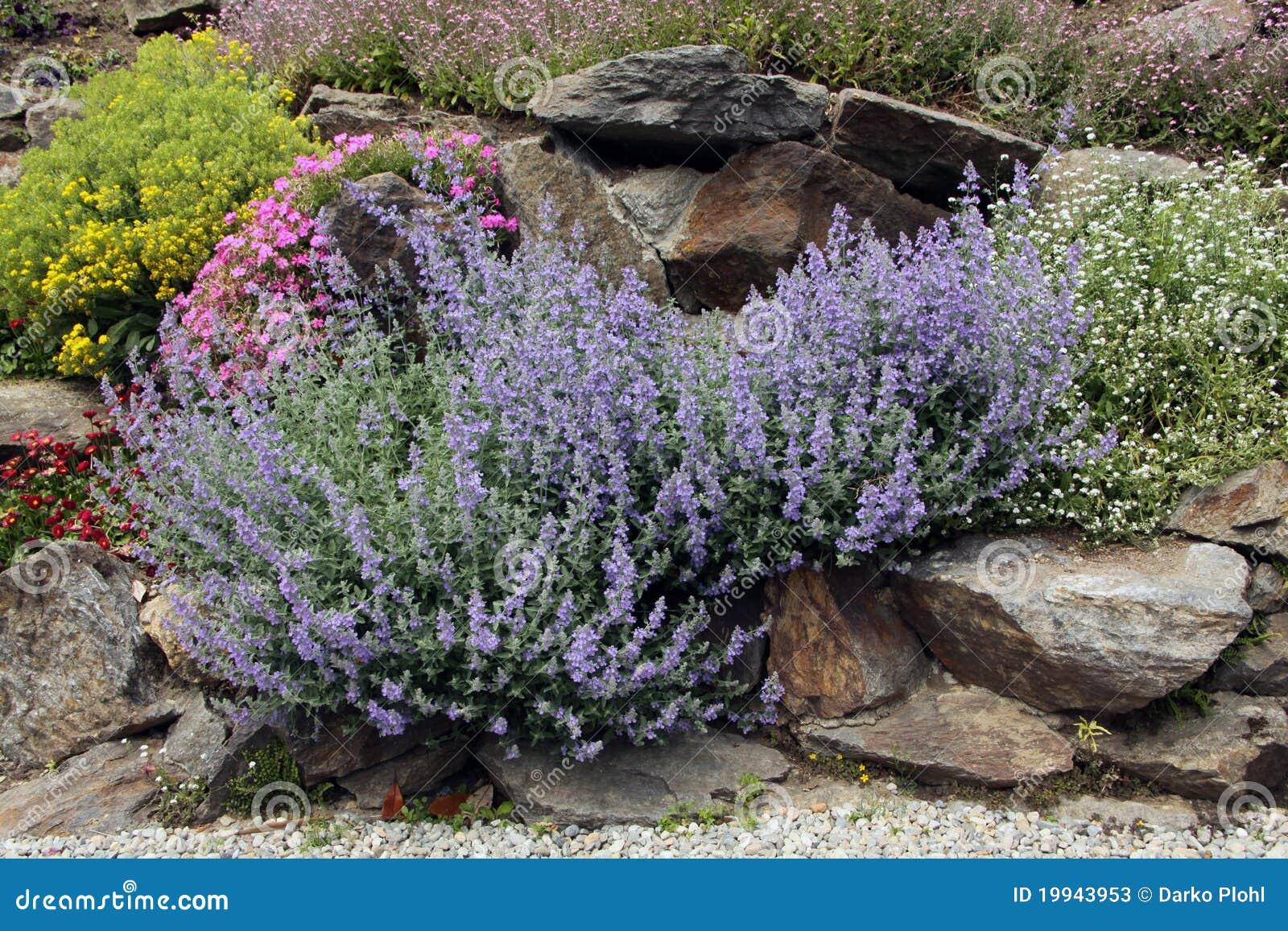 Lavande sur le jardin de roche photos stock image 19943953 for Le jardin neufchatel sur aisne