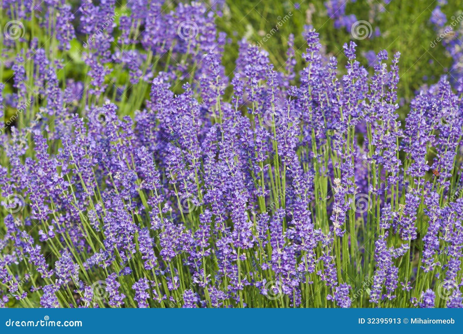 to lavender lavender color lavender flower lavender uses