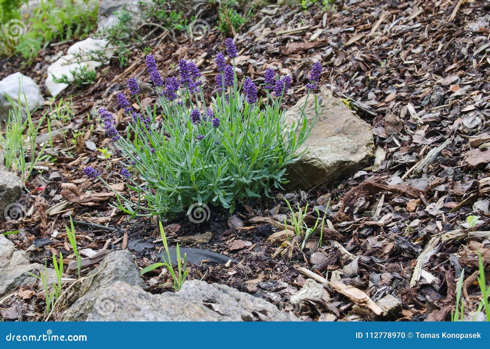 Lavandula angustifolia w ogródzie