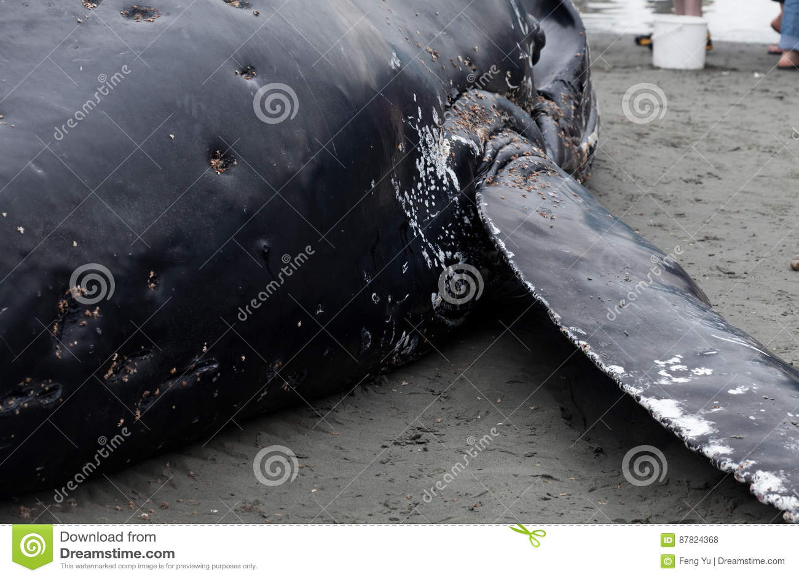 Lavate giovanili della balena di Humpback a secco e morto
