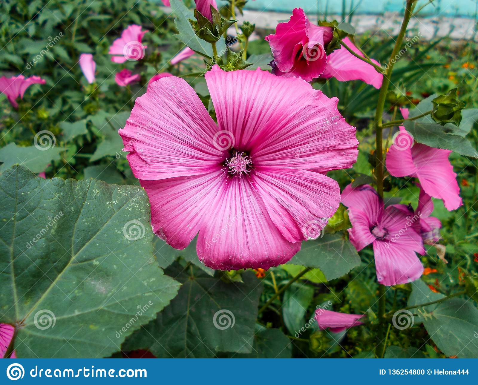 Lavatera Bloemen in de tuin Lavateratrimestris Gevoelige bloemen Roze bloemen