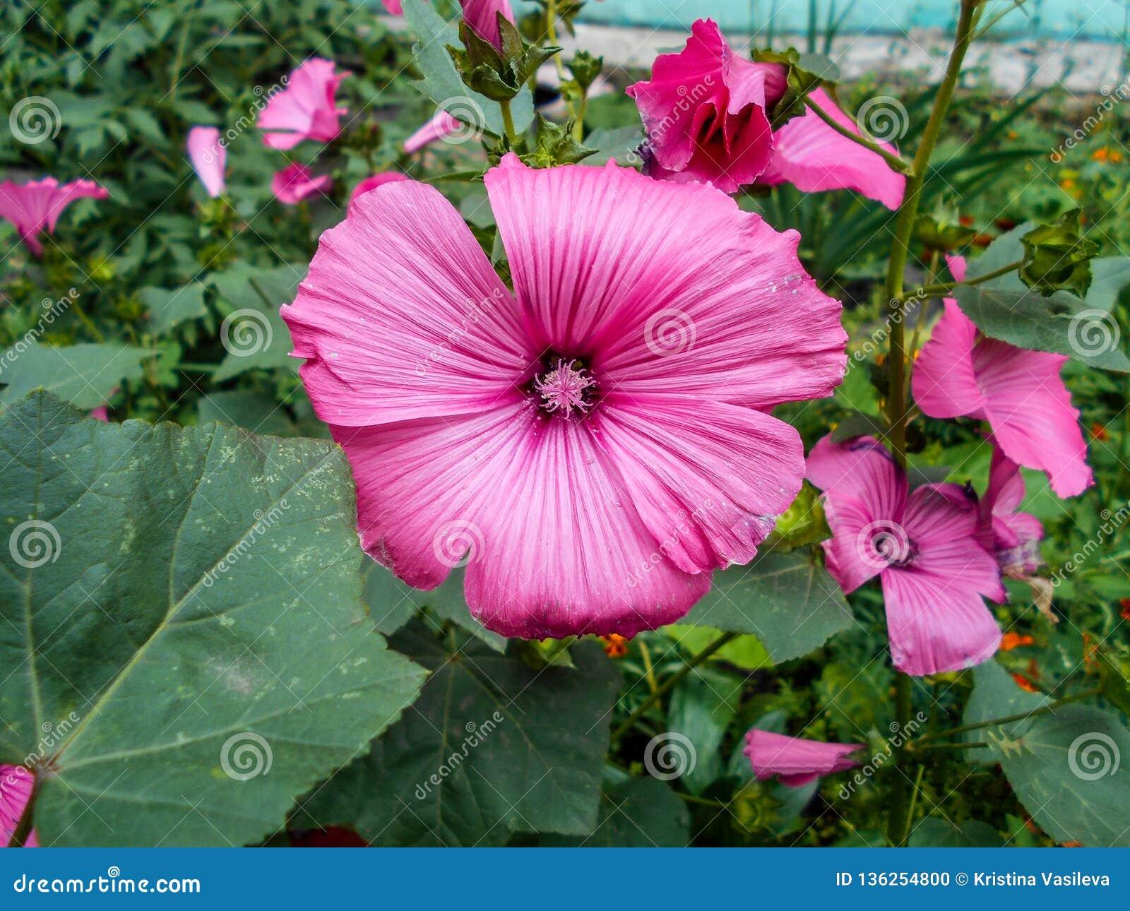 Lavatera Blommor i trädgården Lavateratrimestris fina blommor Rosa blommor