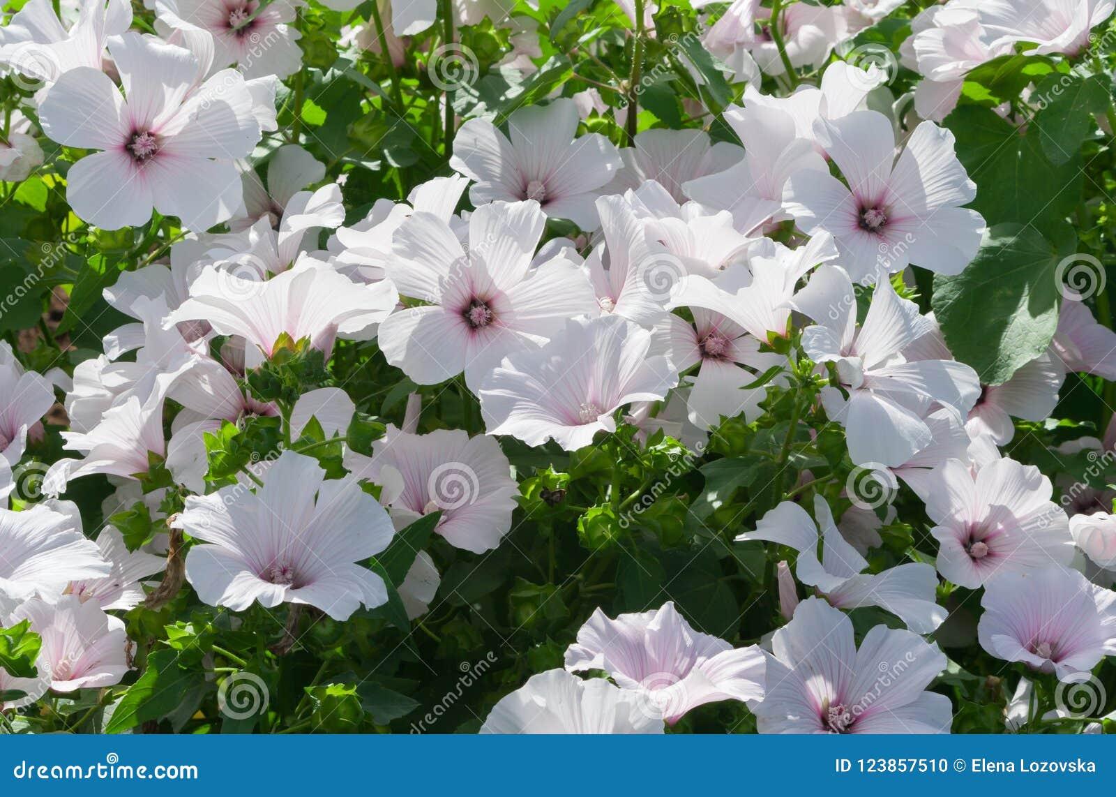 Lavatera White Dwarf Pink Blush Beautiful White Flowers With Pink