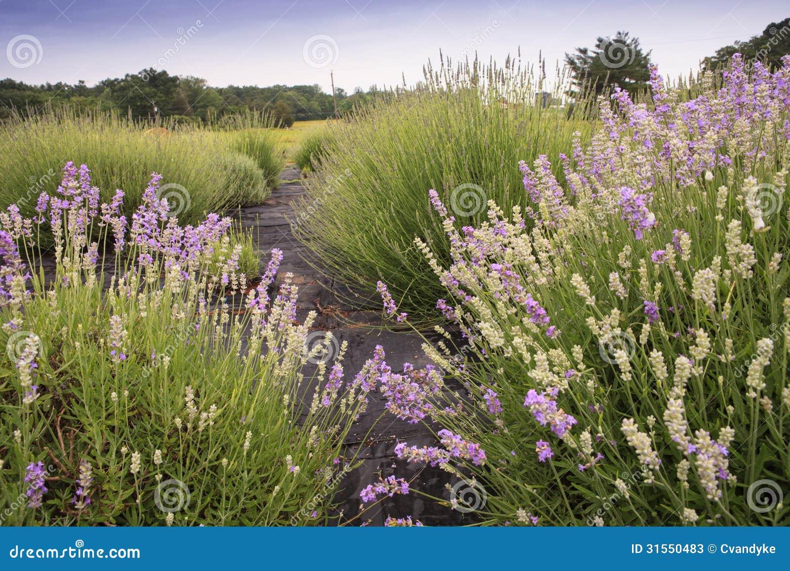 lavendar field farm catlett virginia stock photos image