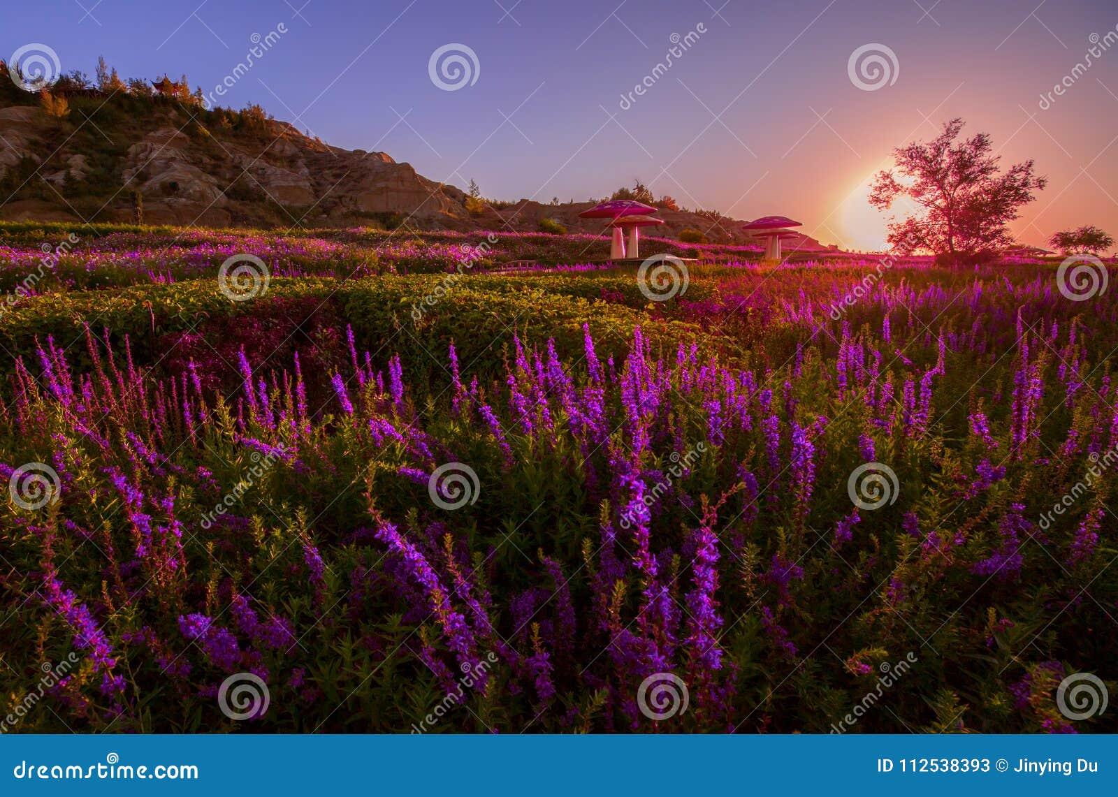 Lavendel bij voet van Tianshan-berg China wordt geplant dat