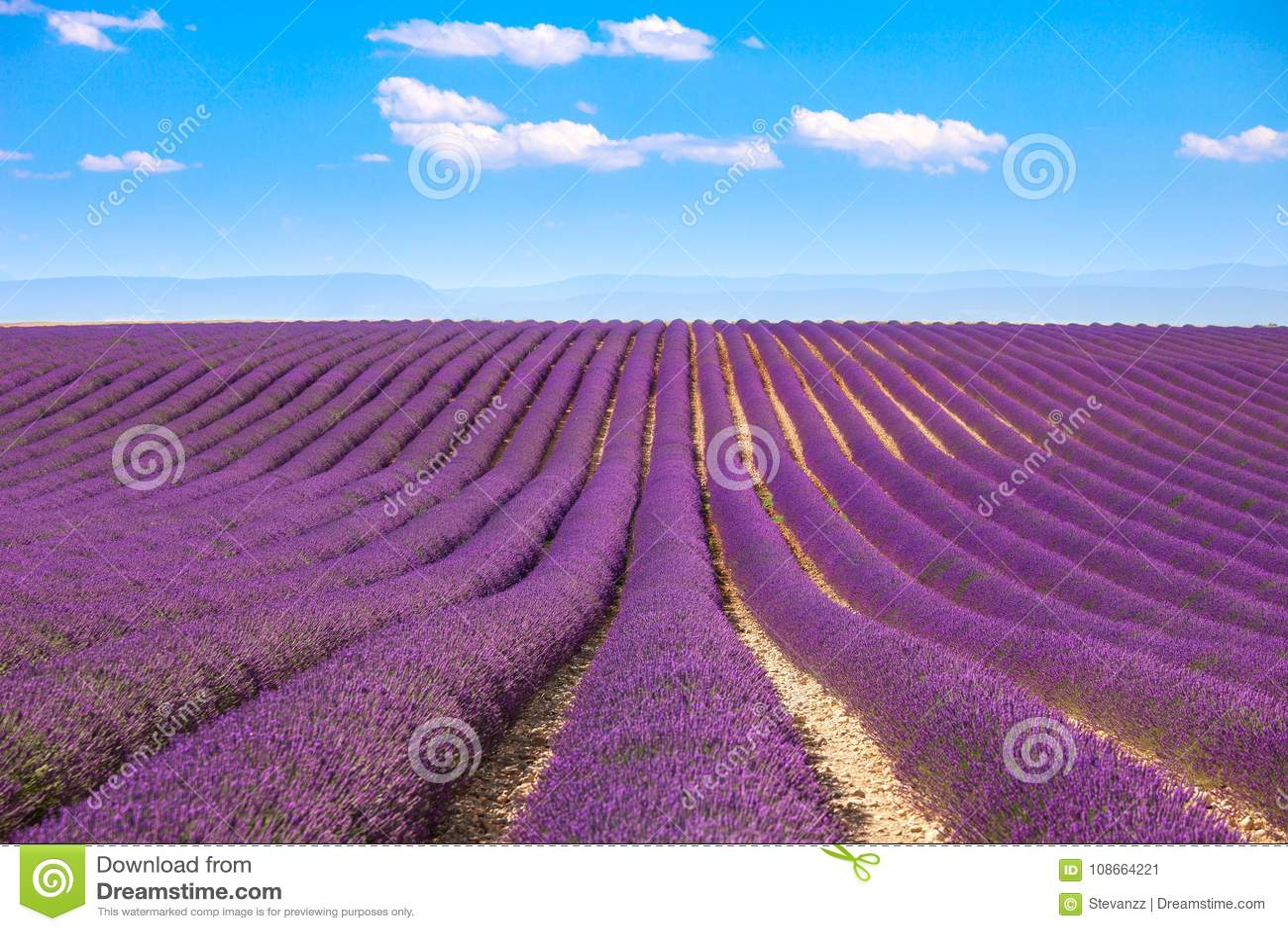 Lavendel blommar blomma fält Valensole Provence, Frankrike