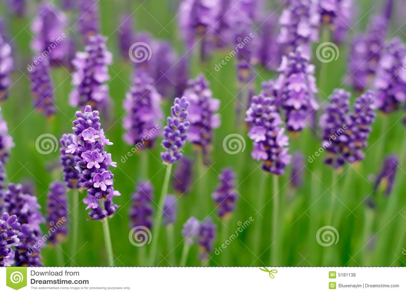 Lavendel-Blumen