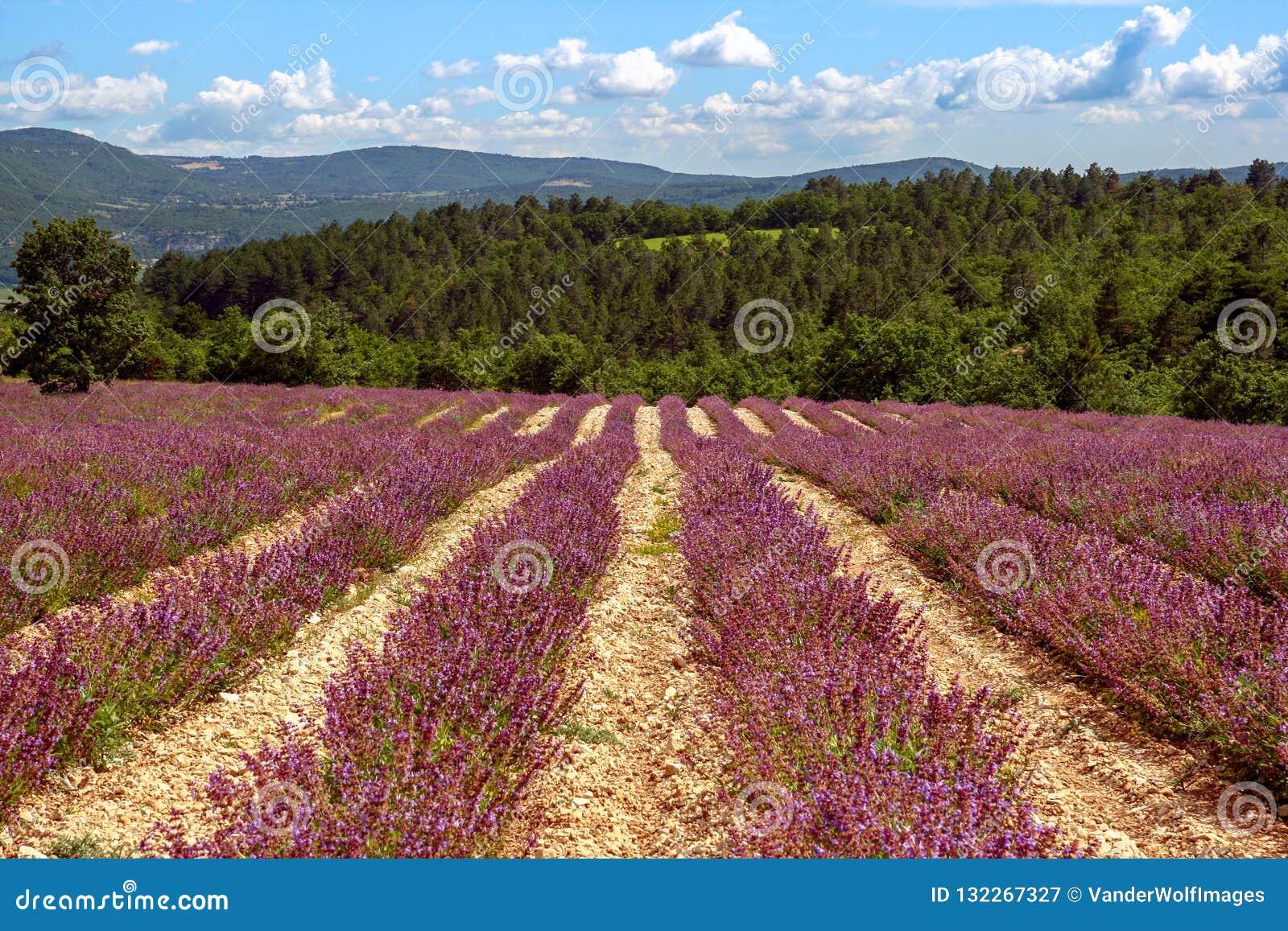 Lavendel de Provence Frankrijk