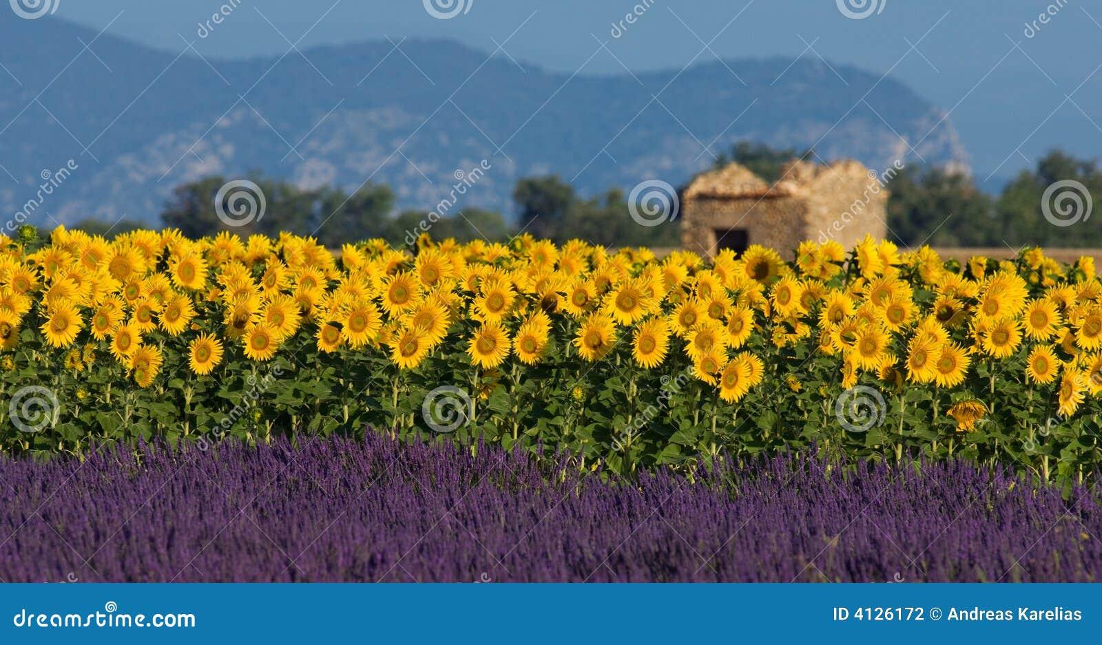 Lavendel en zonnebloem die in de Provence, Frankrijk plaatsen