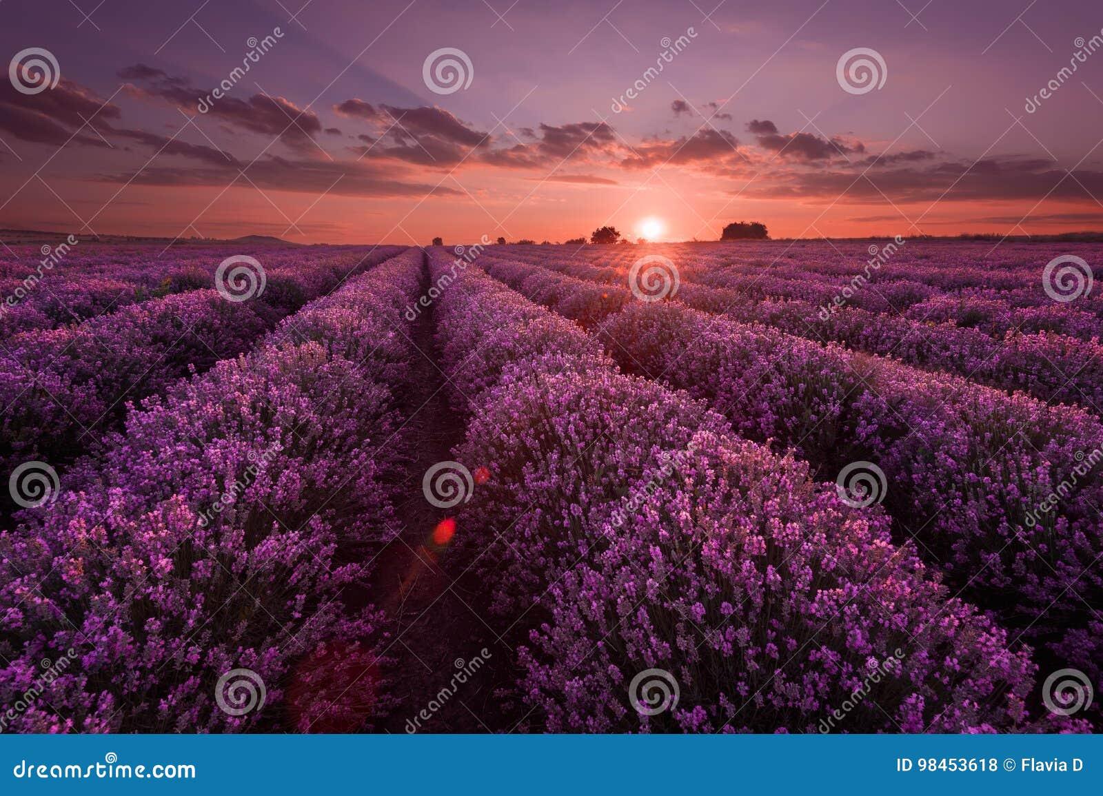Lavendel-Felder Schönes Bild des Lavendelfeldes Sommersonnenunterganglandschaft, kontrastierende Farben Dunkle Wolken, drastische